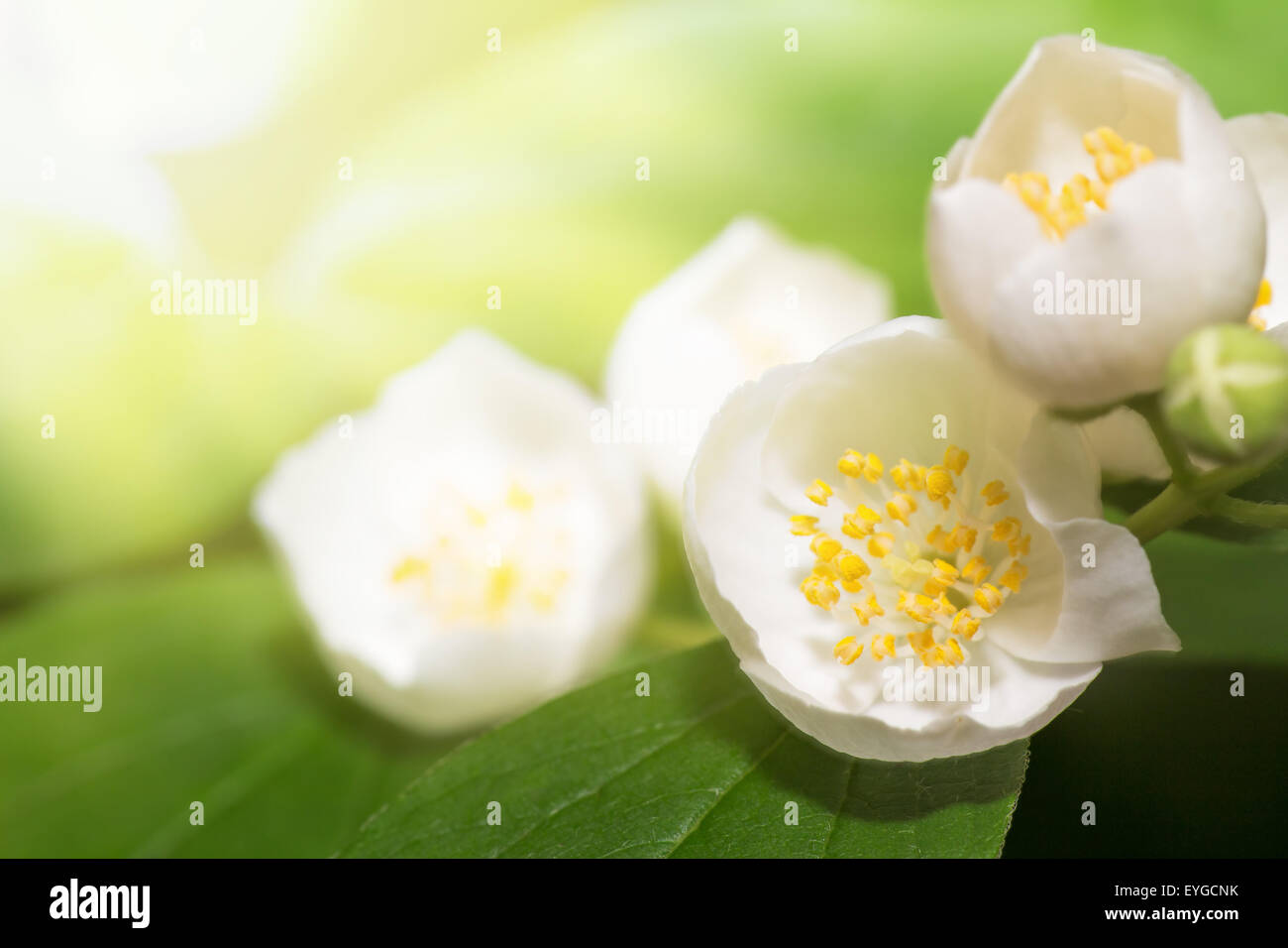 Leaves and flowers Jamin - Stock Image