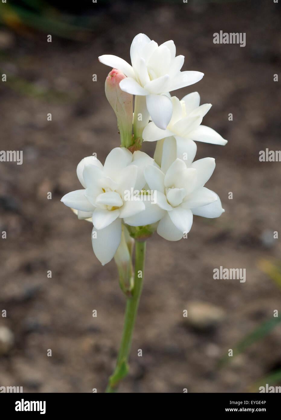 White Tuberose Flowers Stock Photos White Tuberose Flowers Stock