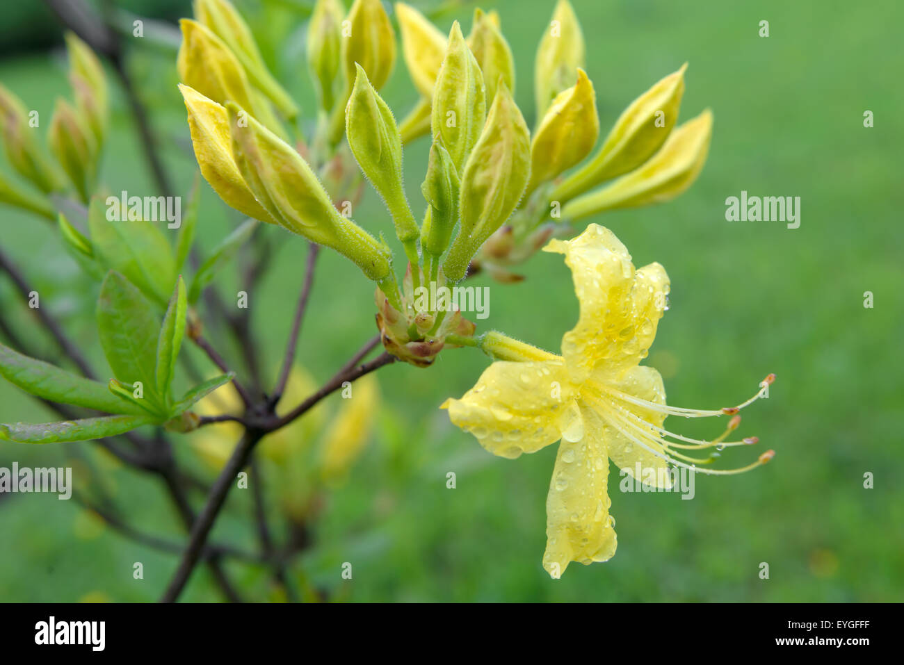 Yellow blooms Rhododendron (Rhododendron luteum) after rain - Stock Image