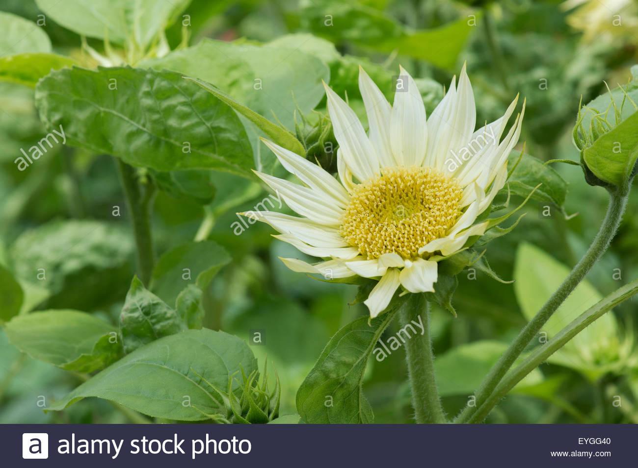 Helianthus annuus. Sunflower 'Jade' - Stock Image