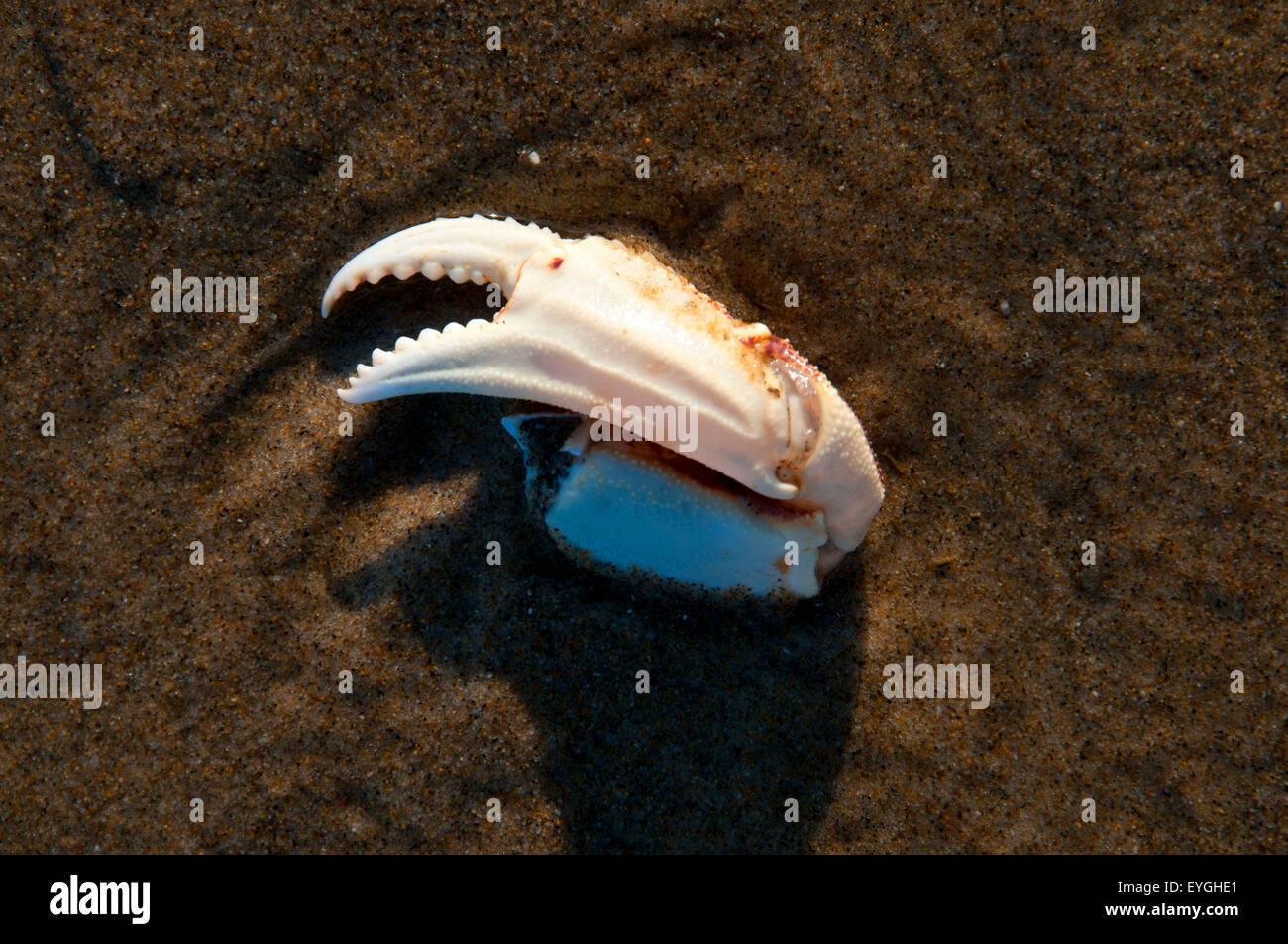 Crab claw, Cape Lookout State Park, Oregon - Stock Image