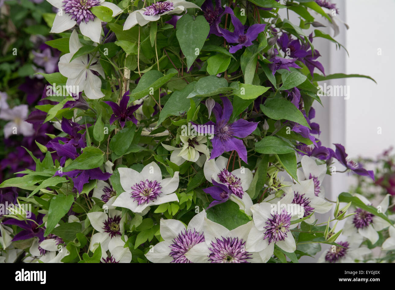 Clematis florida sieboldii ( purple and white) with Clematis Guiding Promise ( Purple ) Stock Photo