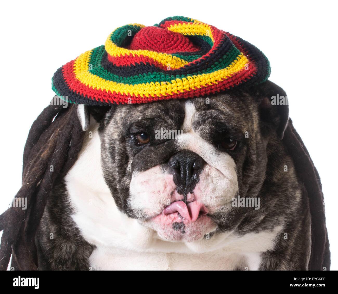funny dog wearing dreadlock wig on white background - bulldog - Stock Image