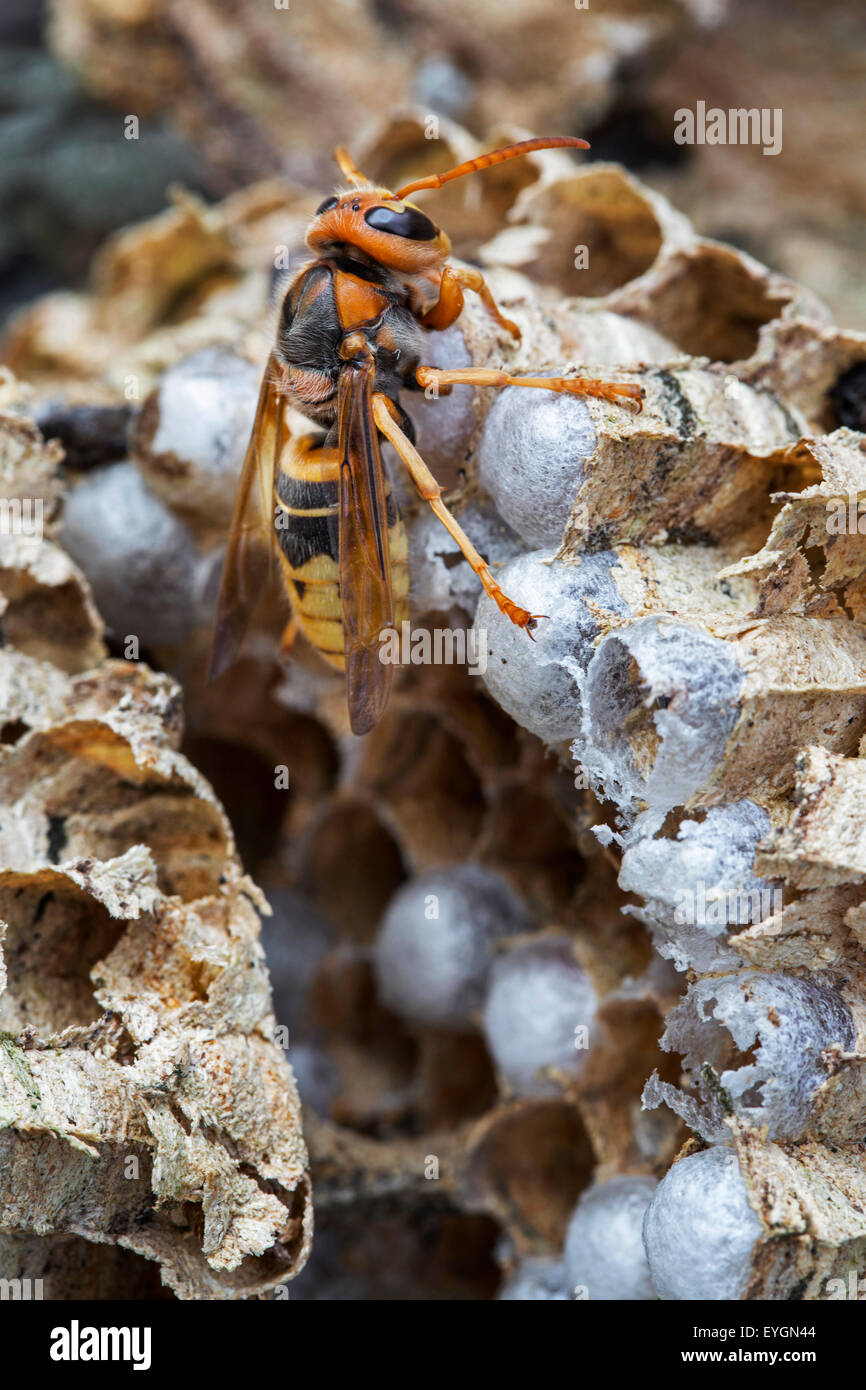 European hornet (Vespa crabro) on brood cells in paper nest - Stock Image
