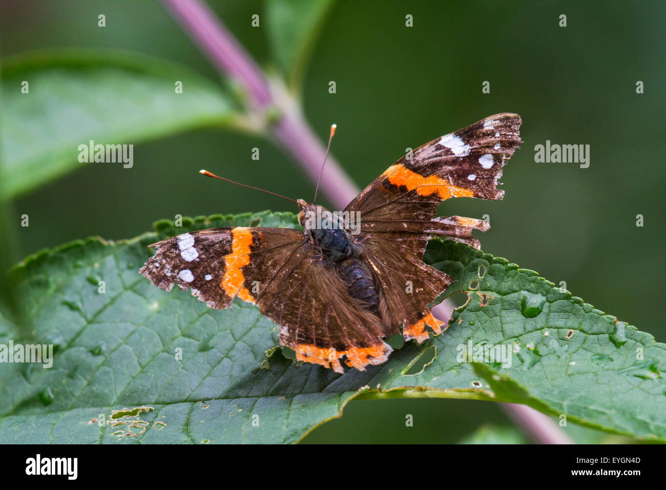 Red Admiral (Vanessa atalanta) butterfly with badly damaged wings - Stock Image