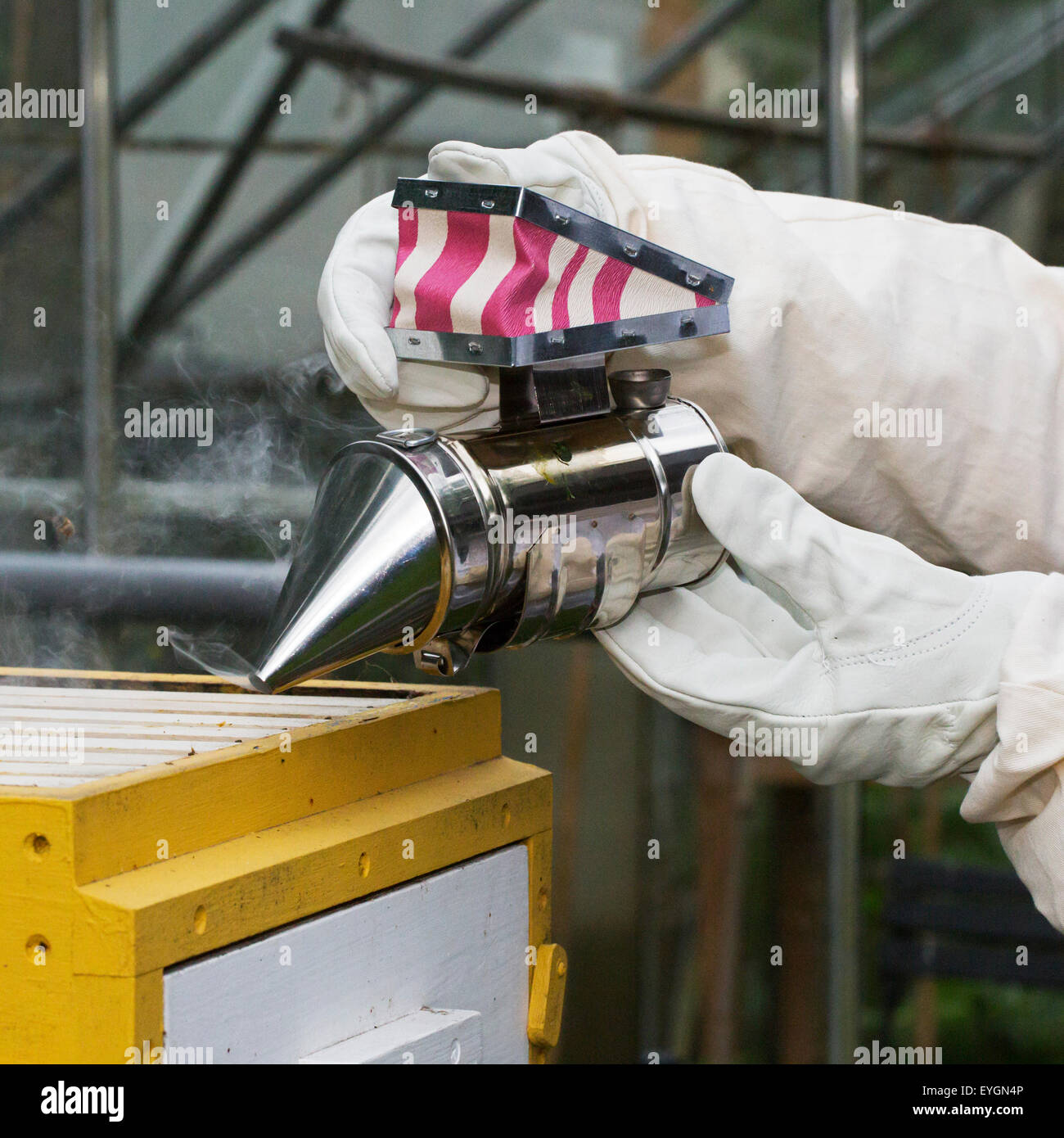 Beekeeper in protective clothing with bee smoker opens beehive to inspect combs from honey bees (Apis mellifera) - Stock Image
