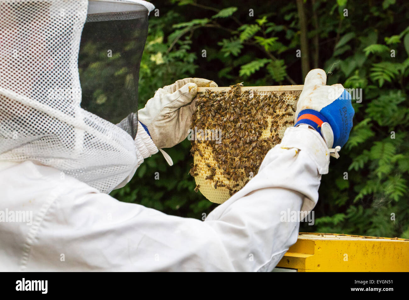 Beekeeper in protective clothing inspecting frame with honeycomb from honey bees (Apis mellifera) - Stock Image