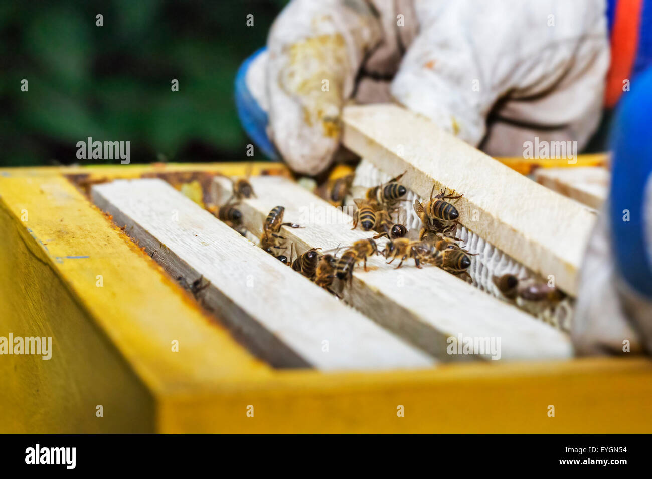 Honey Combs Stock Photos Images Alamy Beekeeping Wiring Board Beekeeper In Protective Clothing Inspecting Frame With Honeycomb From Bees Apis Mellifera