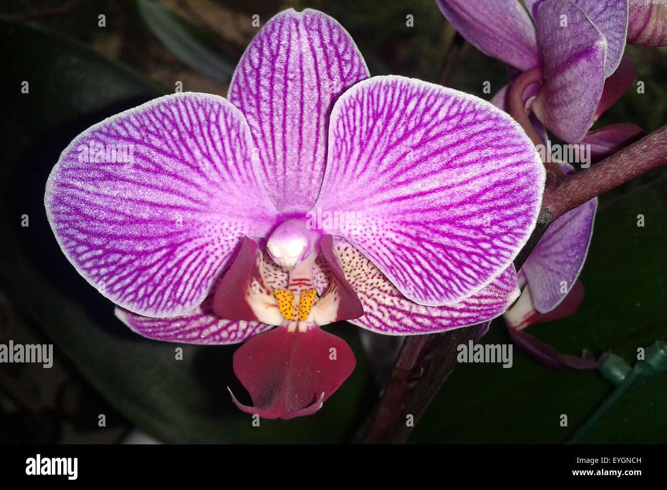 Phalaenopsis, Orchidee - Stock Image