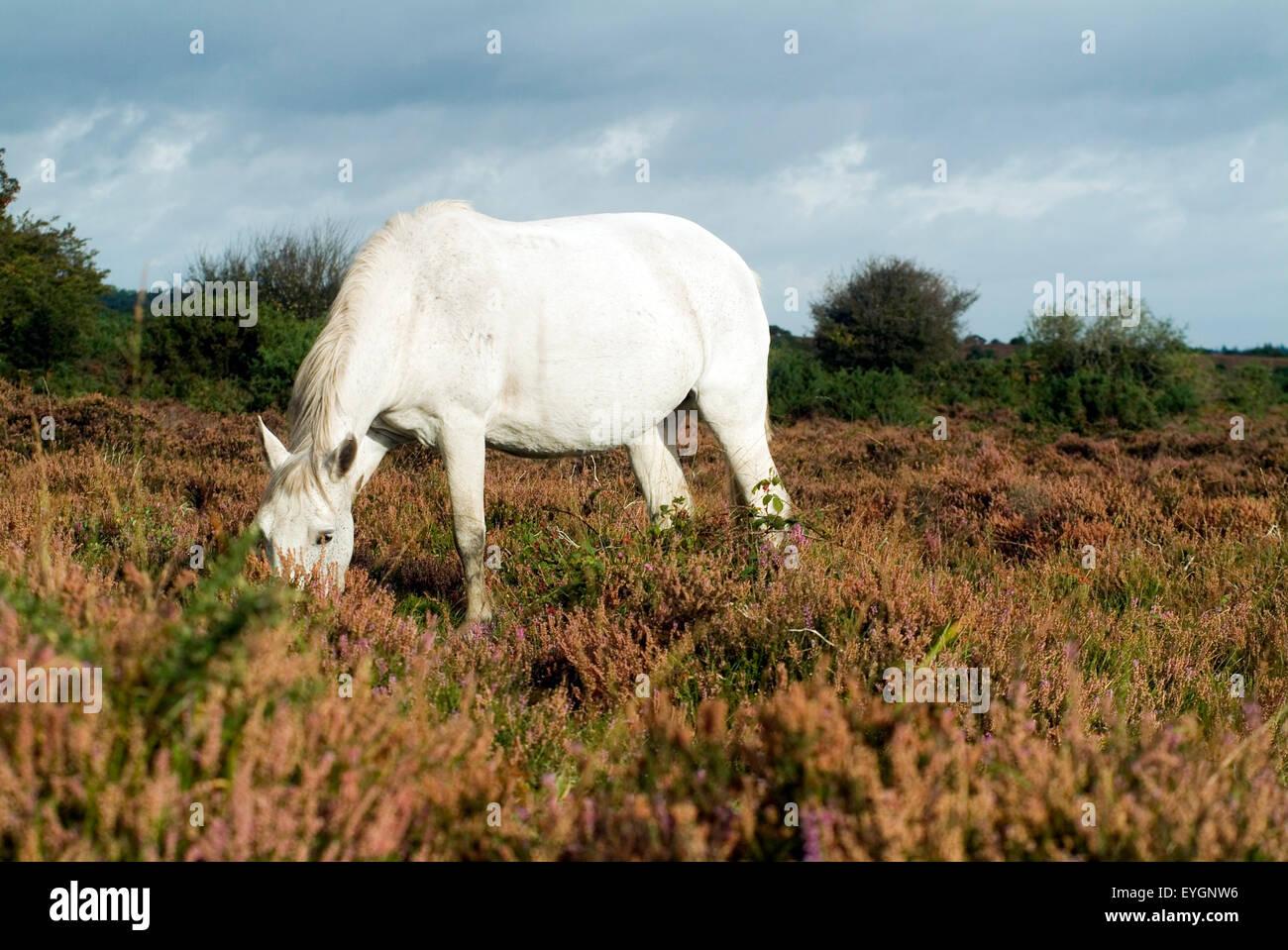 Horses in New Forest Hampshire England UK  Europe - Stock Image