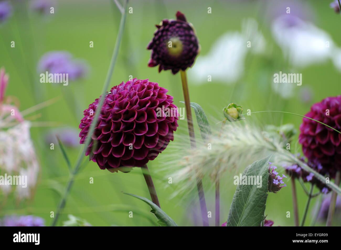 Hell und dunkel lila farbene Blumen auf grüner Wiese bunte Blumenwiese colorful flowers on green lawn - Stock Image
