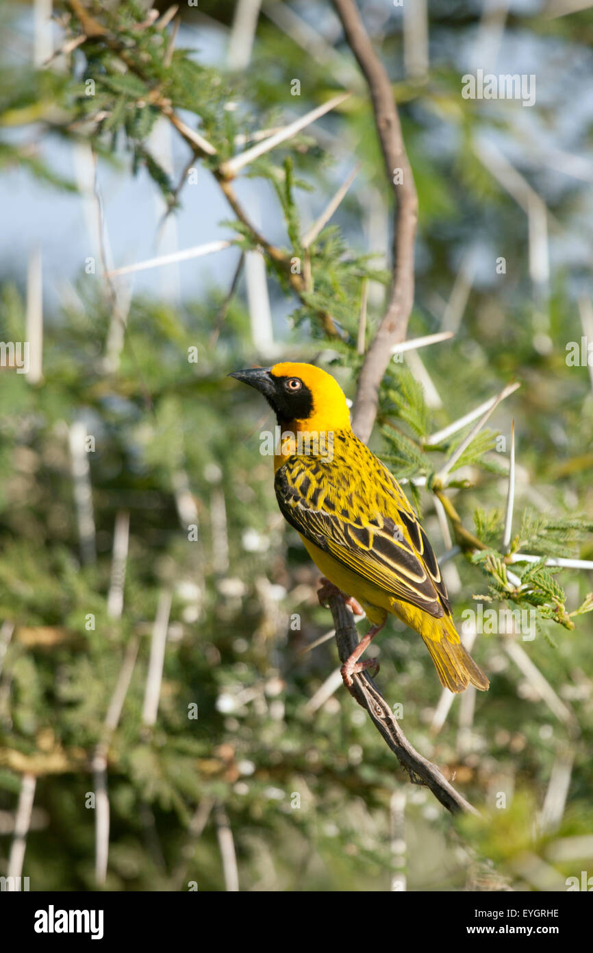 Masked weaver Ploceus velatus Perched on acacia thorn branch - Stock Image