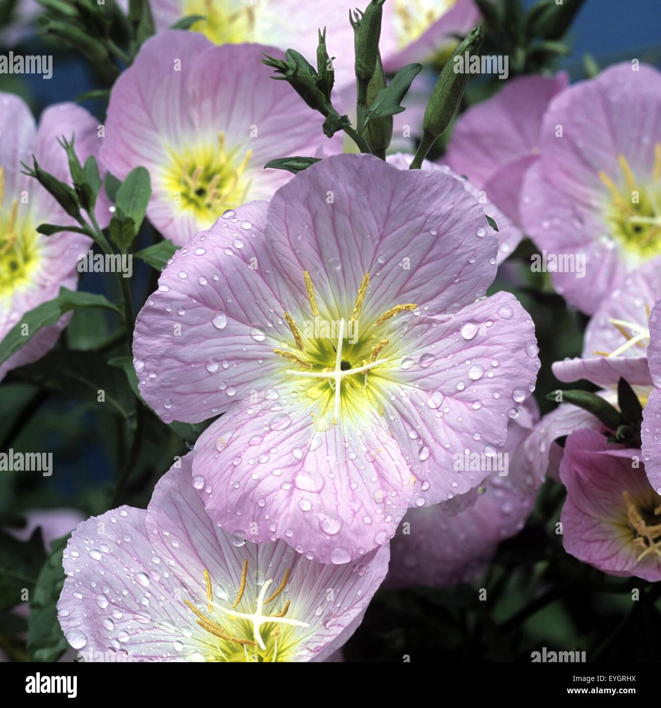 Rosabluehende Nachtkerze Stock Photo