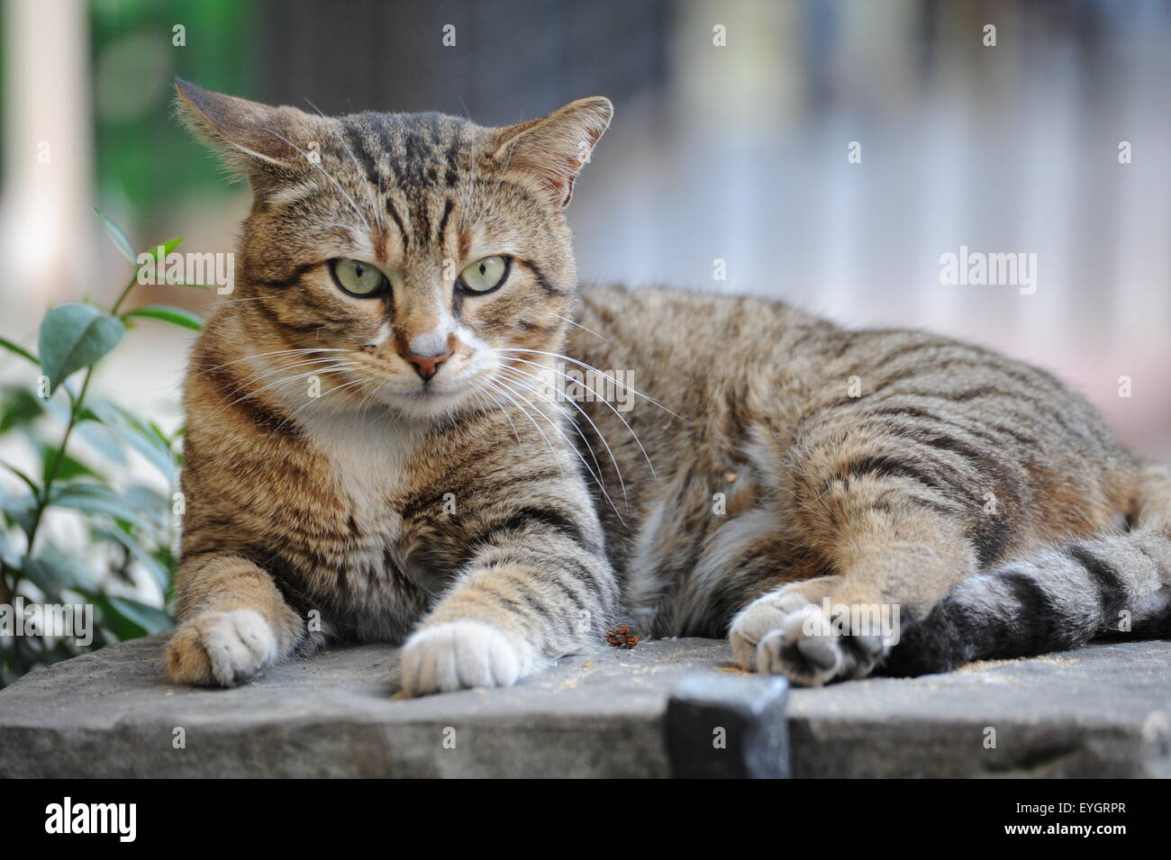 getigerte Katze schaut relaxed cat watches you Stock Photo