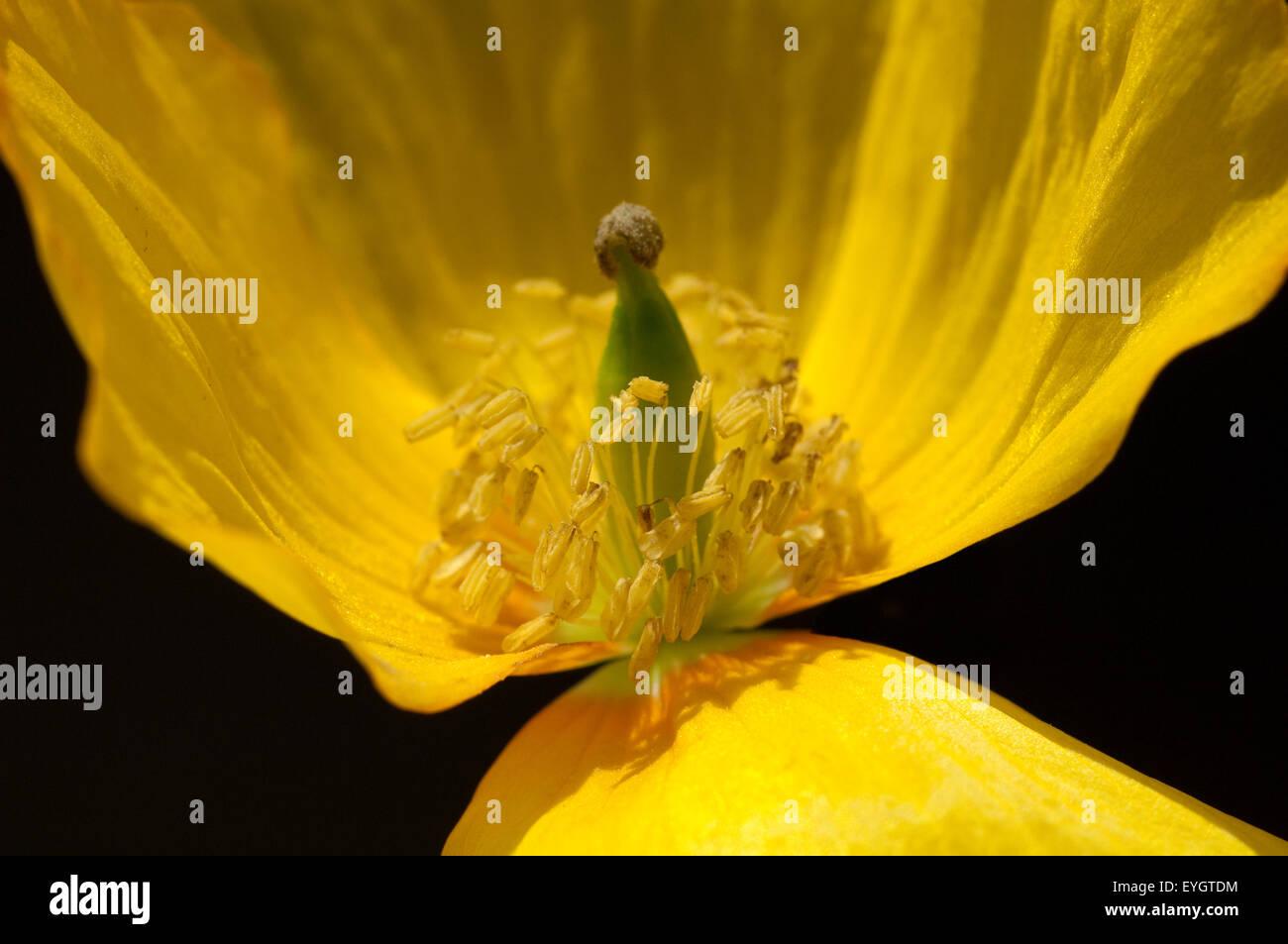 Scheinmohn, Meconopsis, cambrica, Stock Photo