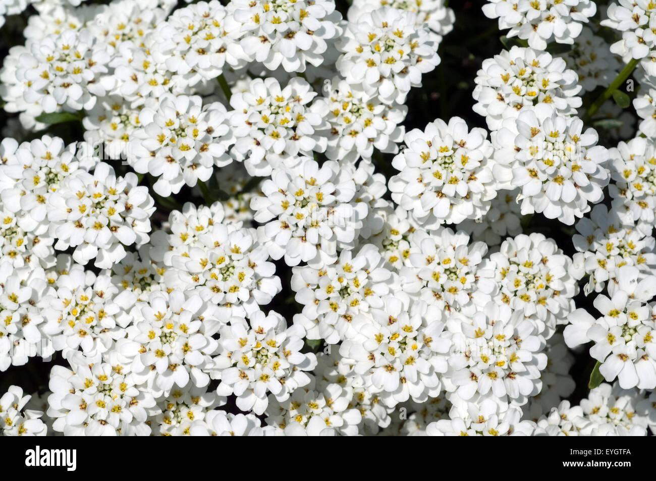 Schleifenblume, Zwergschneeflocke, Iberis, sempervierens, Stock Photo