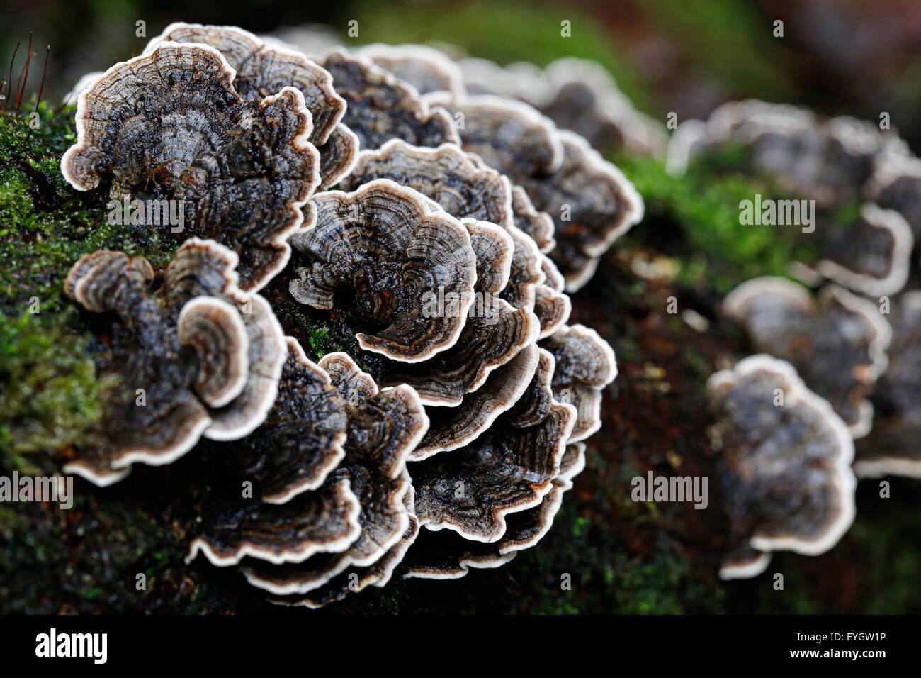Brown and white Turkey tail fungus or mushrooms, Trametes versicolor, growing on a wet branch in a damp English - Stock Image