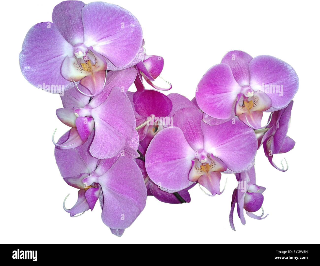 schmetterlingsorchidee; Malaienblume, Nachtfalter-Orchidee, Phalaenopsis; - Stock Image