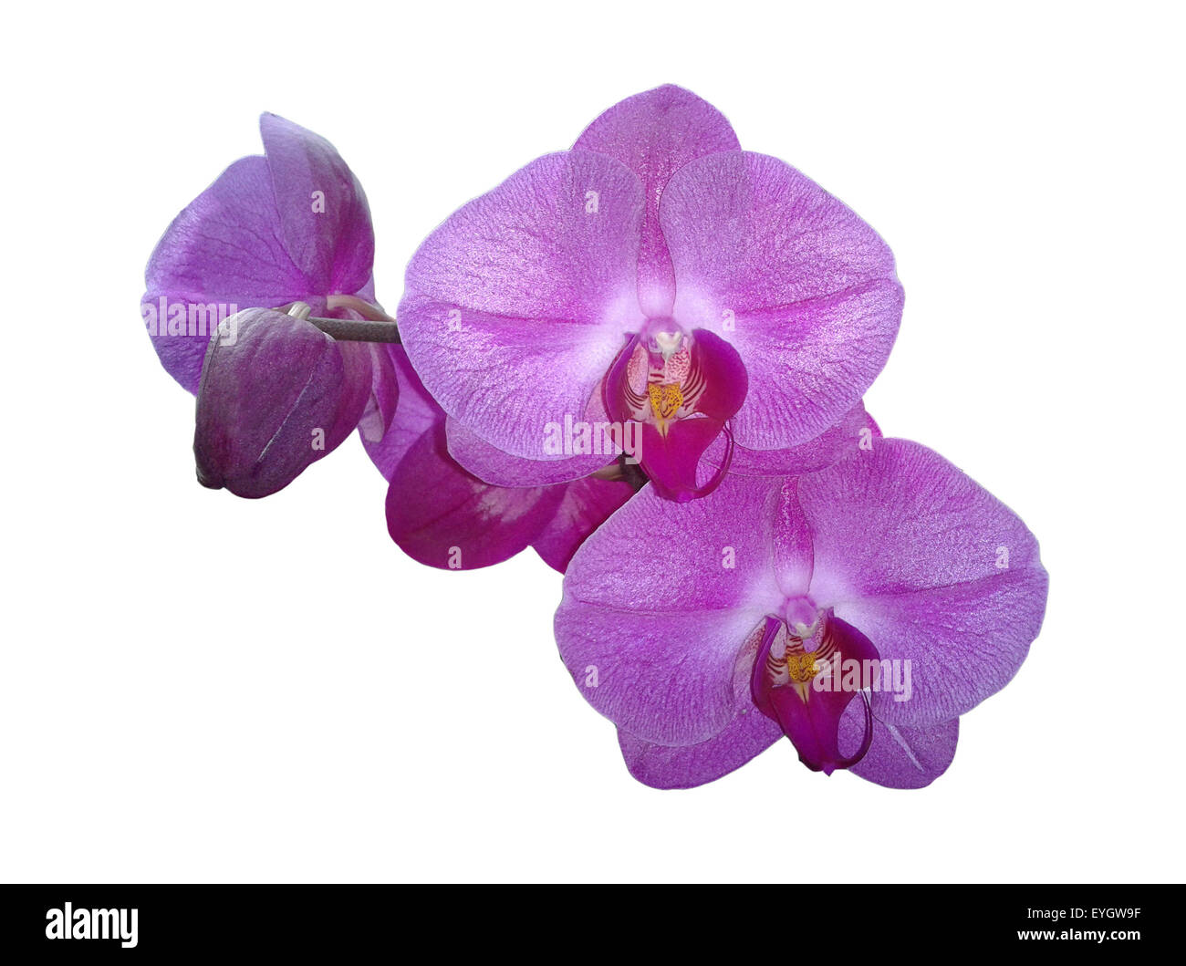 schmetterlingsorchidee; Malaienblume, Nachtfalter-Orchidee, Phalaenopsis; Stock Photo