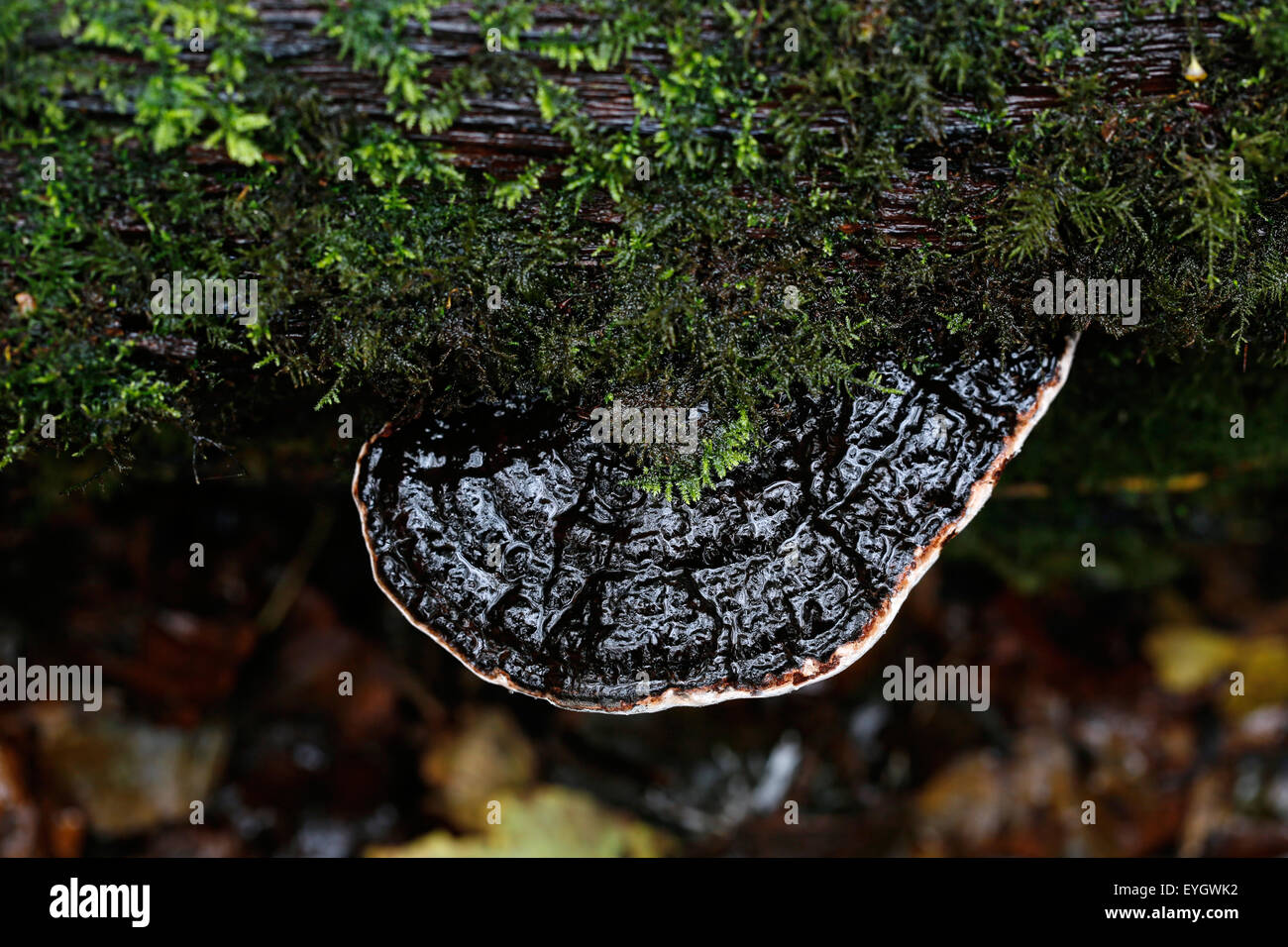 A large flat bracket fungi ot piptoporus fungi growing on a fallen tree in an English woodland. The area is wet - Stock Image