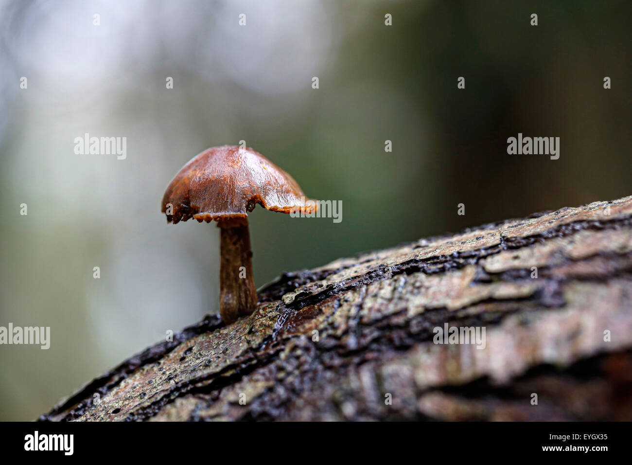 A sigle sulphur tuft mushrooms, Hypholoma fasciculare, growing in a damp, wet tree hollow in an English woodland - Stock Image