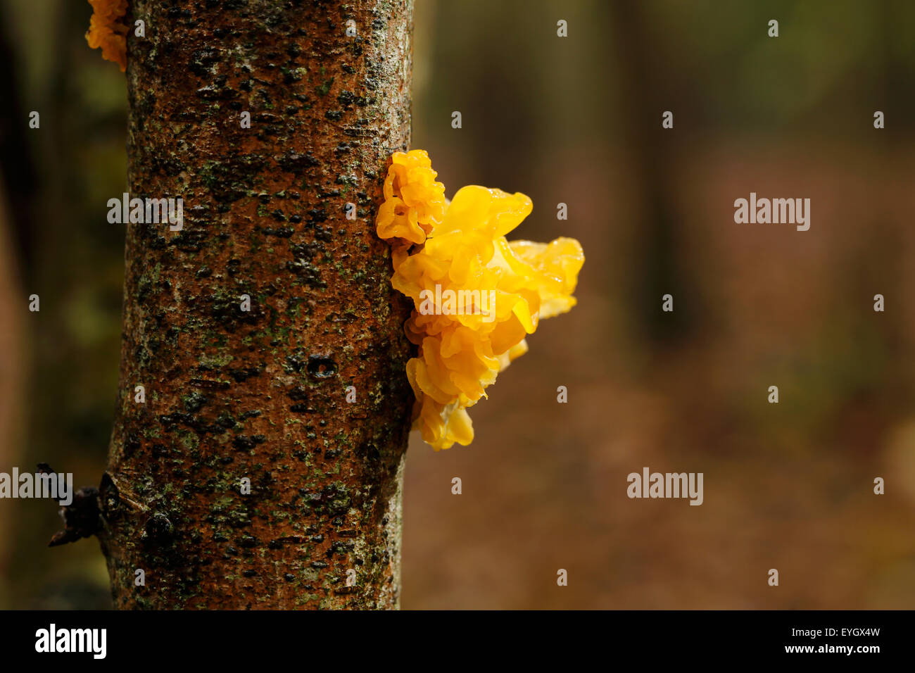 Yellow brain fungi growing on a tree in woodland. Also known as butter fungus, witches butter or golden jelly fungus - Stock Image