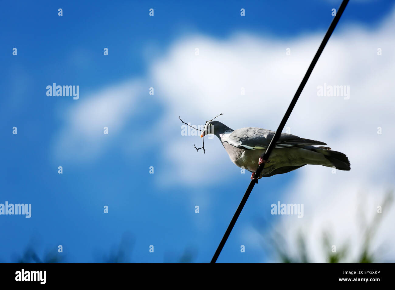 A Wood Pigeon, resting an overhead electrical cable, holding a twig in its beak as it prepares it's nest - Stock Image