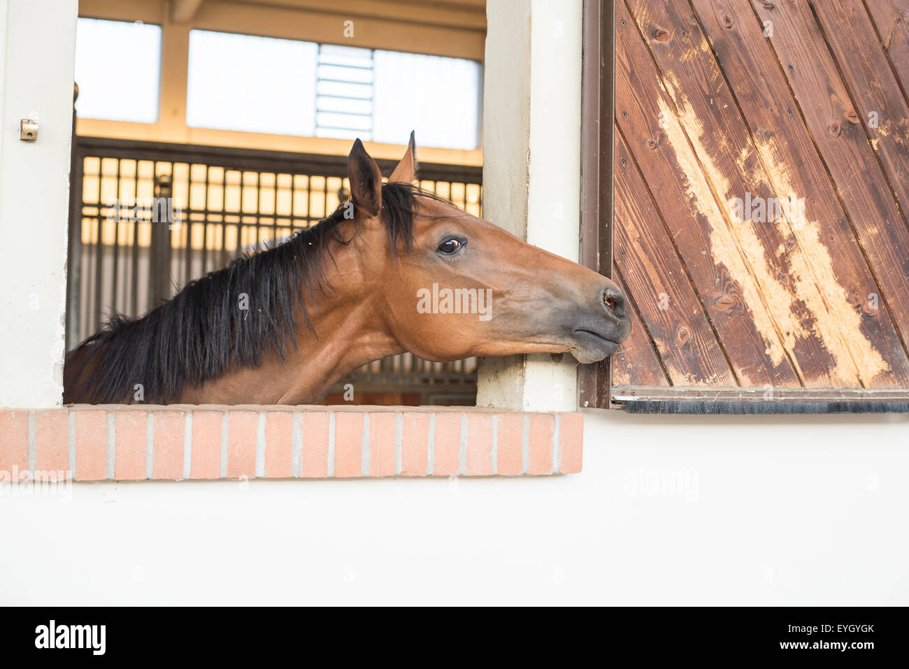 Head of horse in window of stable box on horse farm - Stock Image