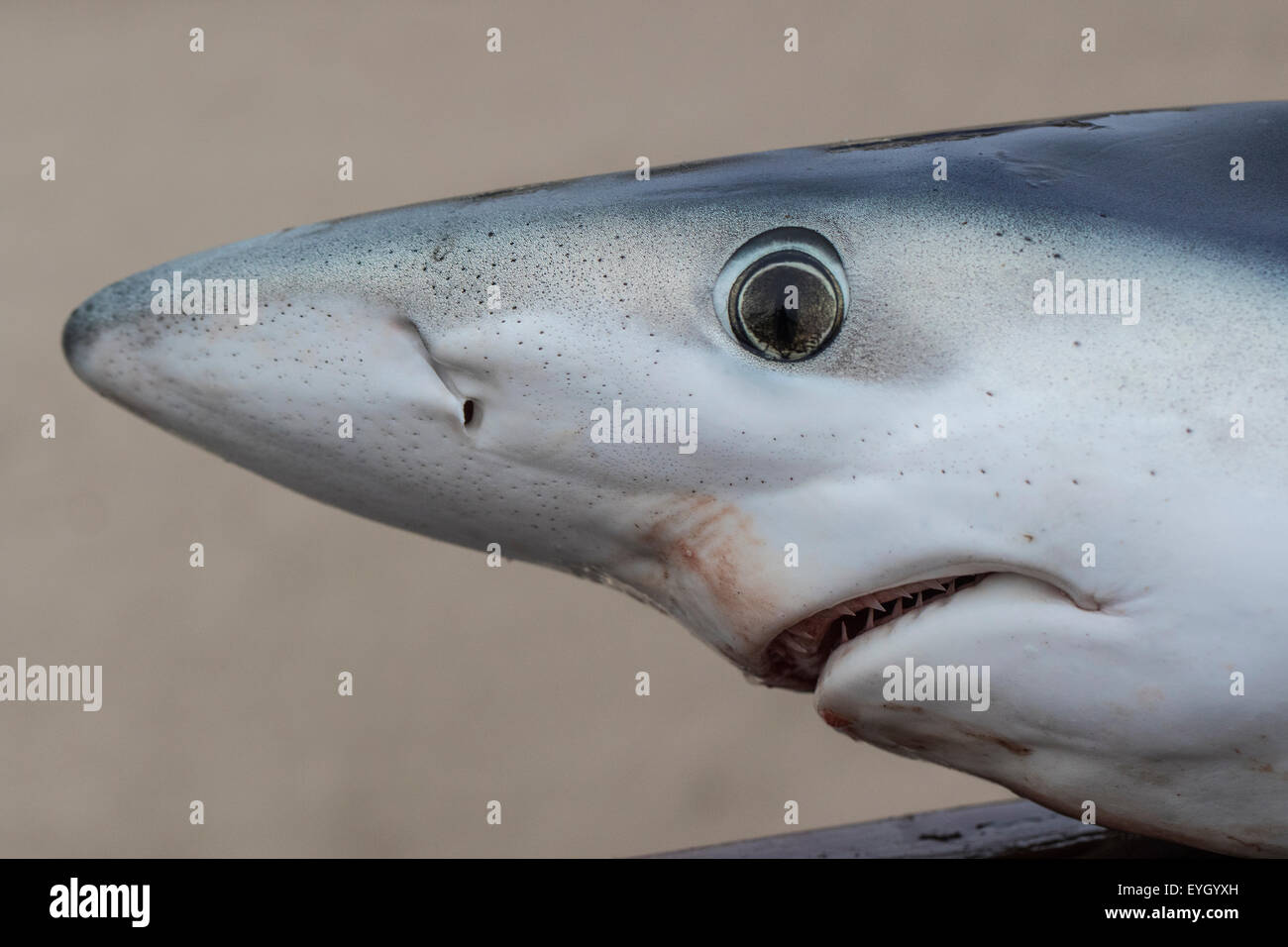 Close-up of a Blue Shark (Prionace glauca) caught as part of a scientific tagging programme, Isles of Scilly, Cornwall Stock Photo