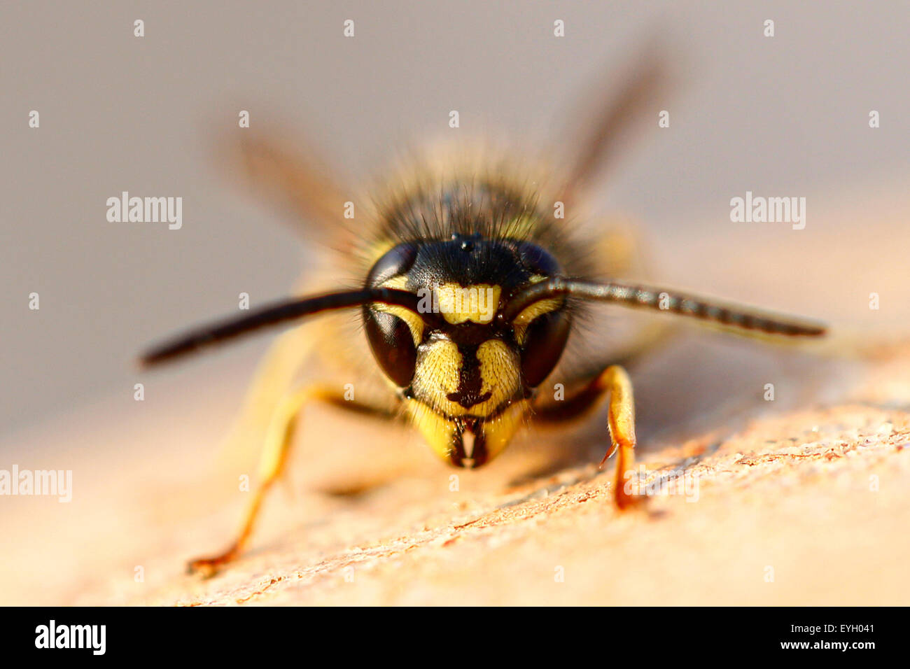 A head on close up shot of a common wasp, Vespula vulgaris. Its warming itself in the early morning sun in an English - Stock Image