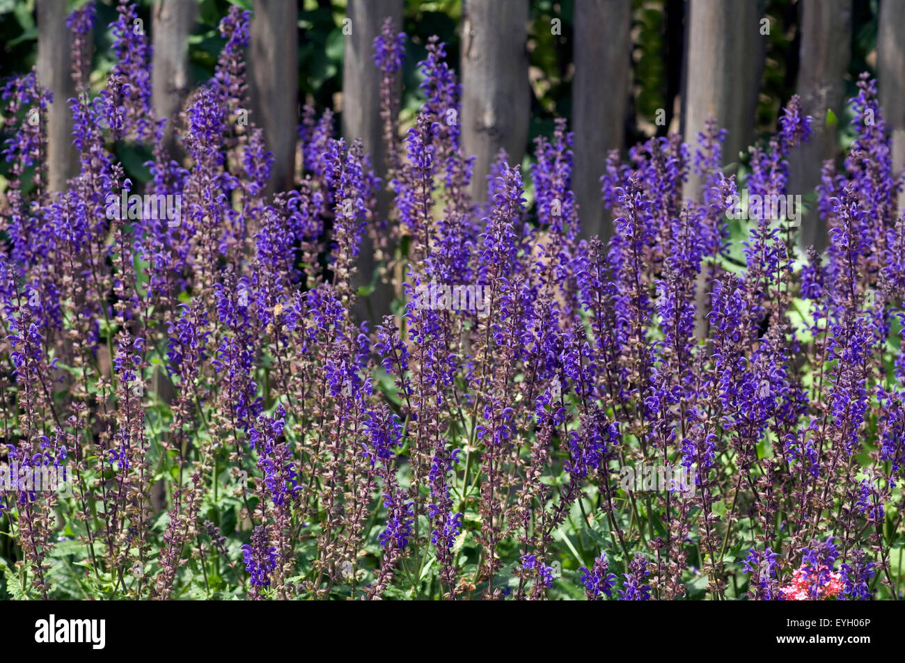 Steppen-Salbei; Salvia nemorosa Stock Photo