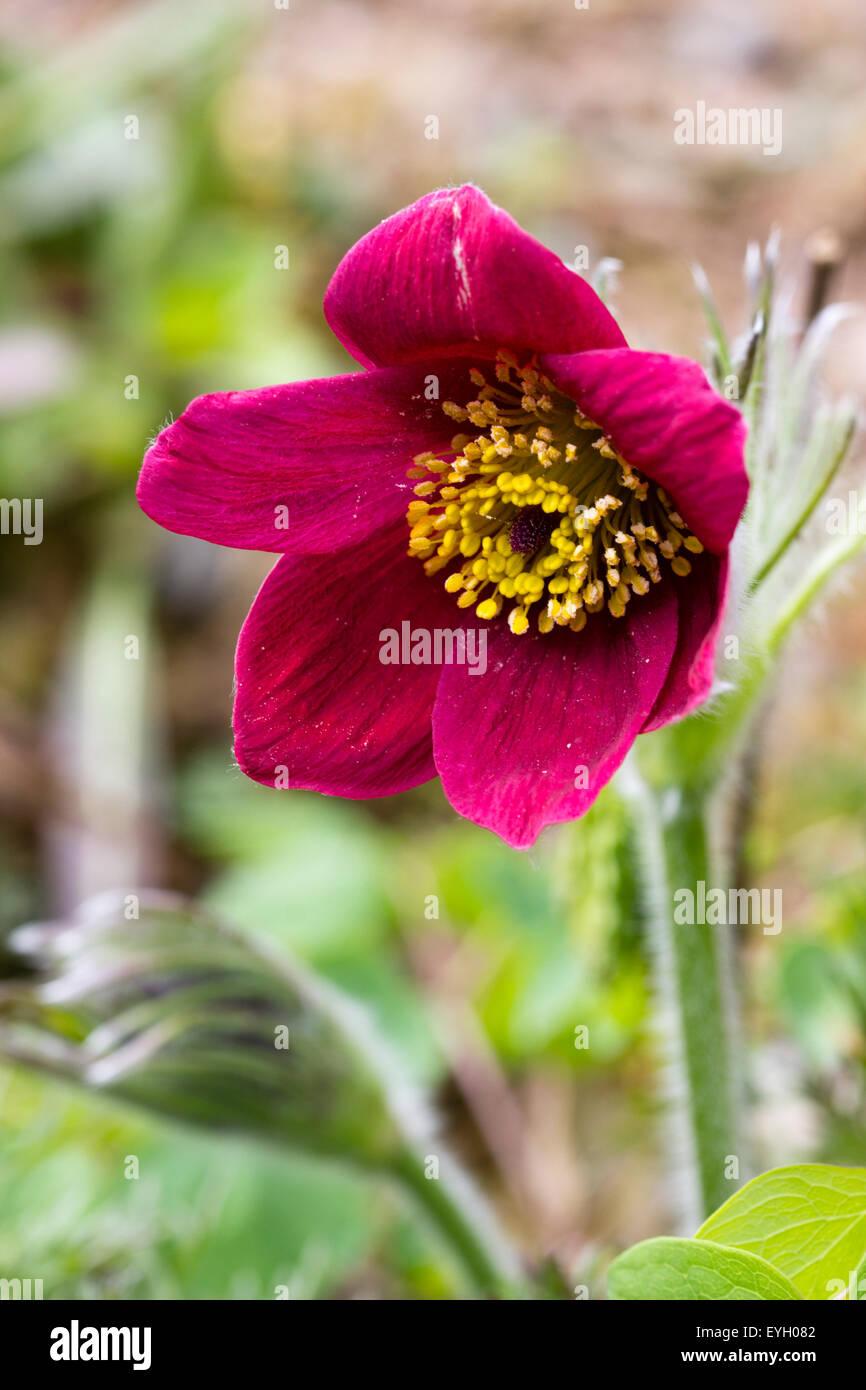 Red flowers of the seed raised pasque flower, Pulsatilla vulgaris 'Heiler hybrids' - Stock Image