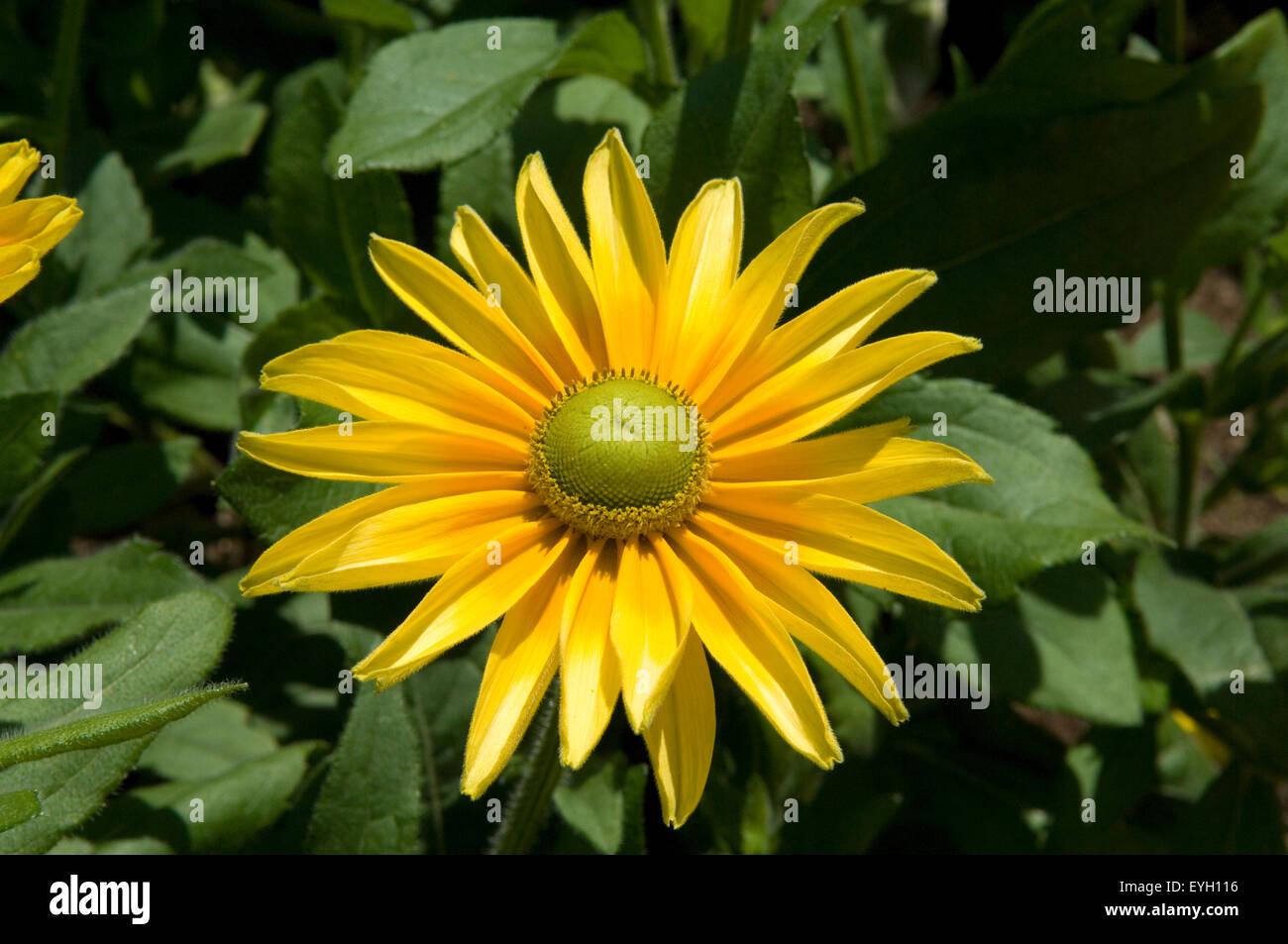 Sonnenhut; Prairie Sun, - Stock Image