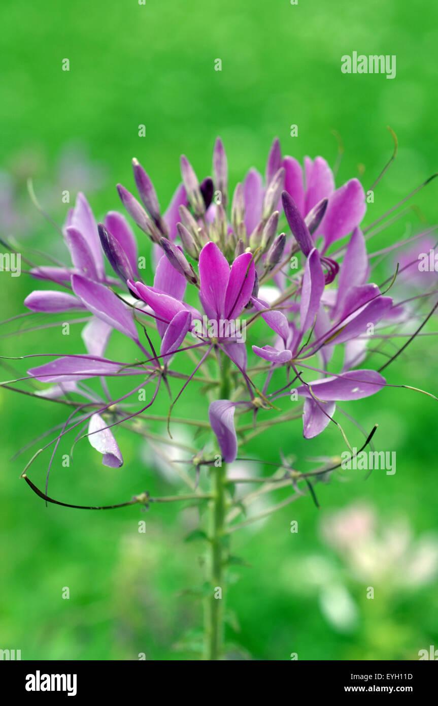 Spinnenblume; Spider flower; Stock Photo