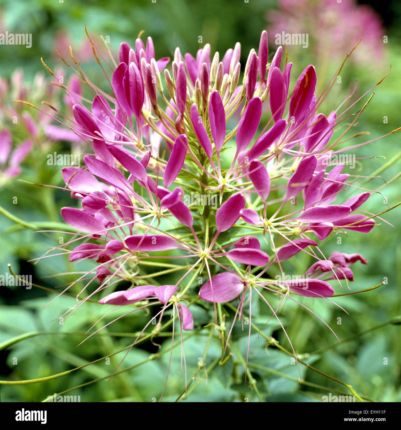Spinnenblume, Cleome spinosa Stock Photo