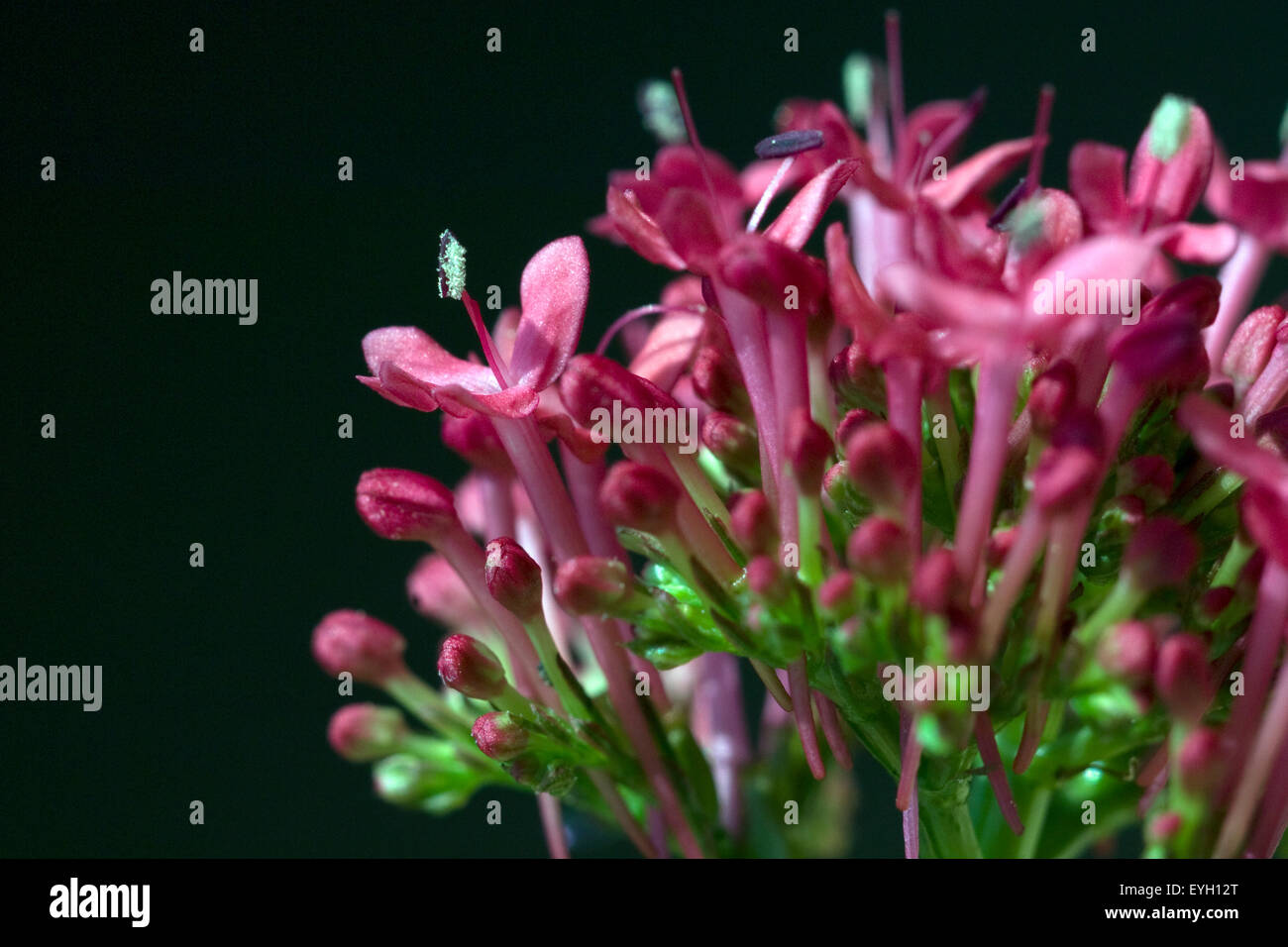 Spornblume, Centranthus, ruber, Spornblumen, - Stock Image