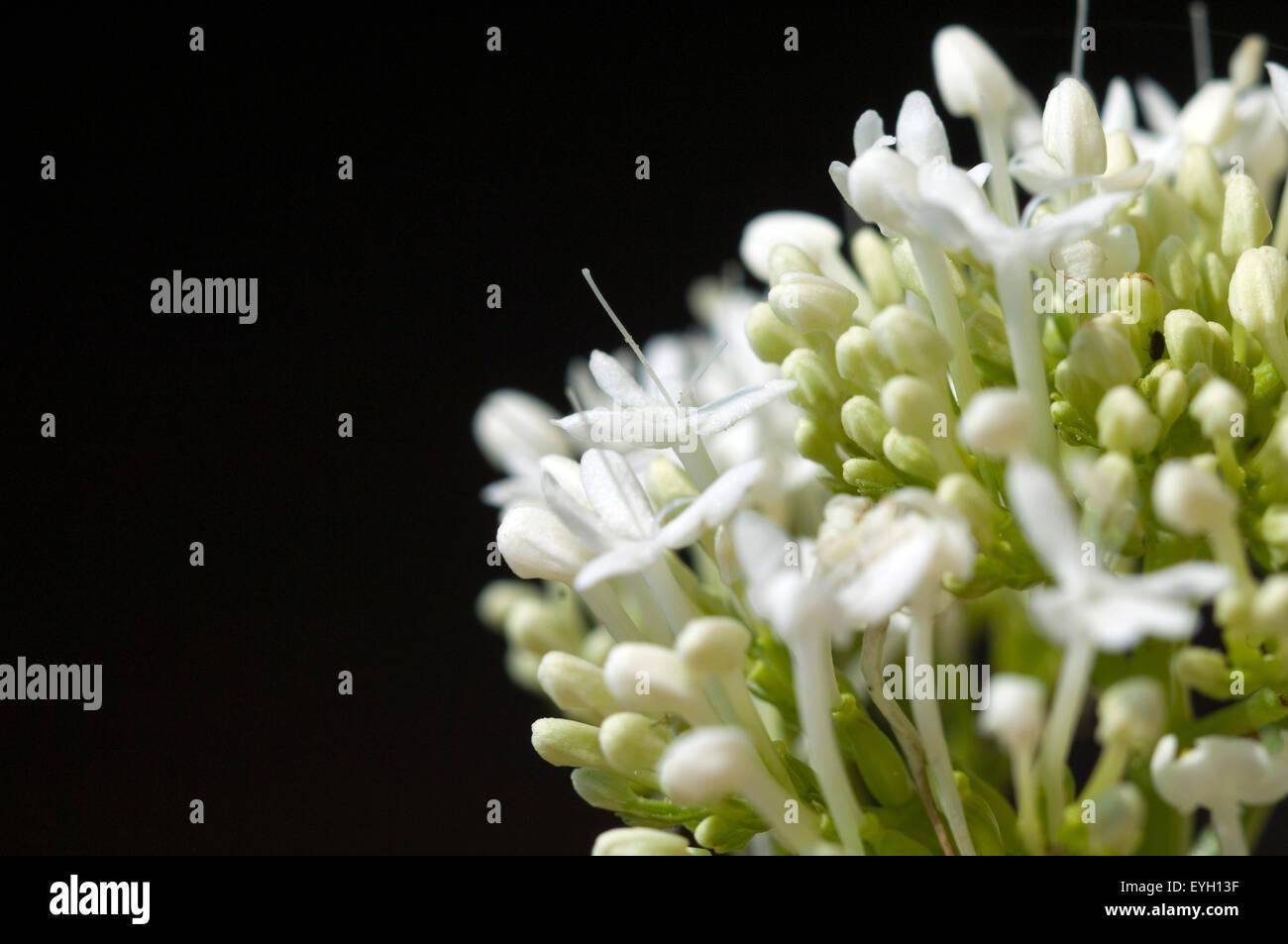 Spornblume, Centranthus, ruber, alba, Albus, - Stock Image