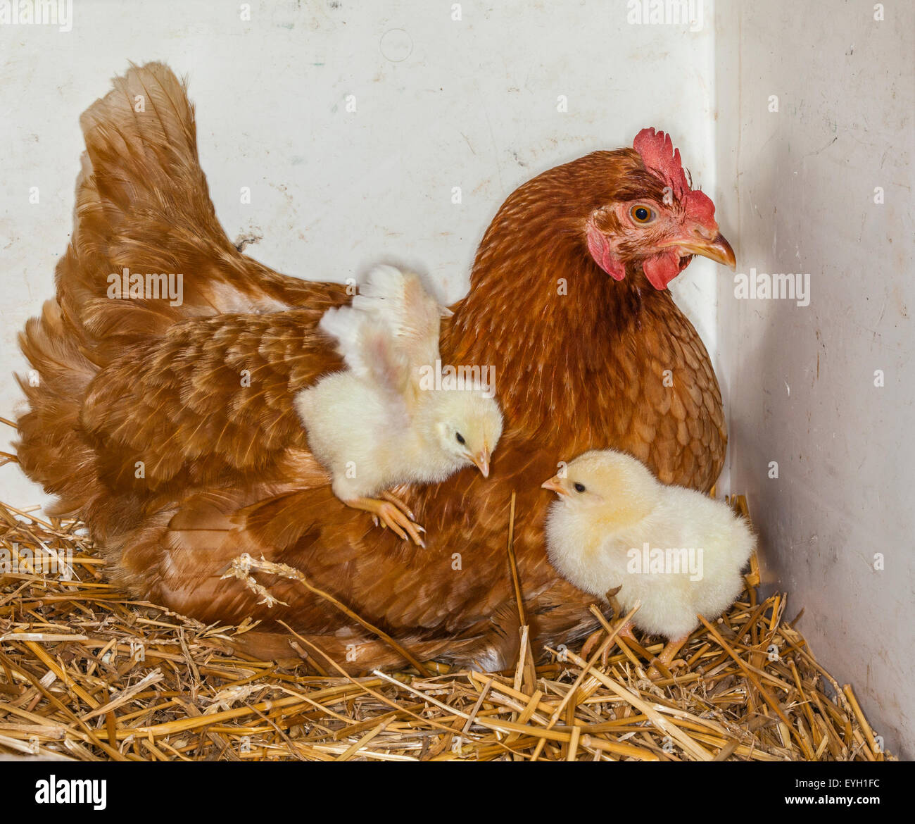 Joy of motherhood, mother hen with chicks - Stock Image