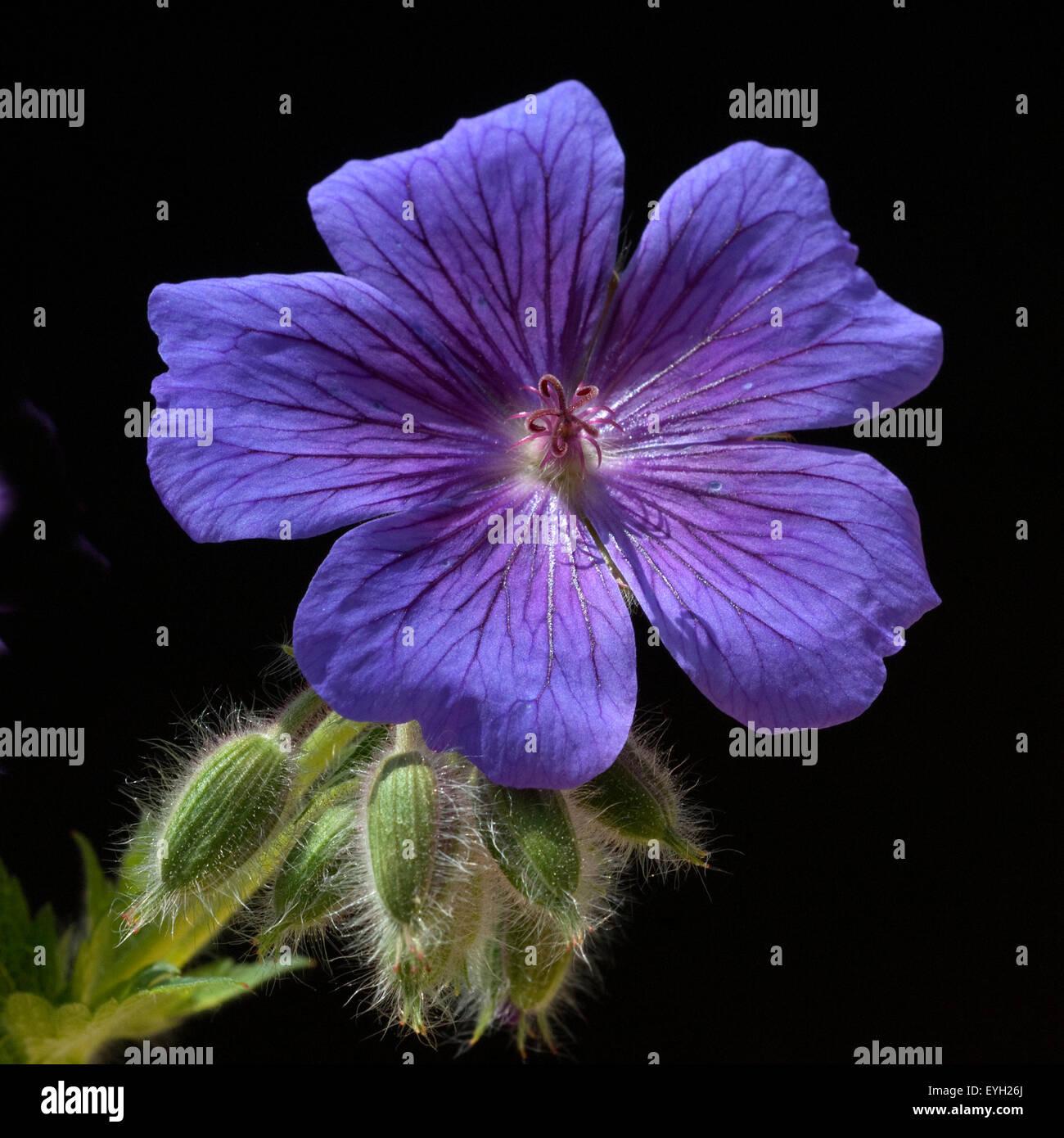 Storchschnabel; Geranium; magnificum; - Stock Image