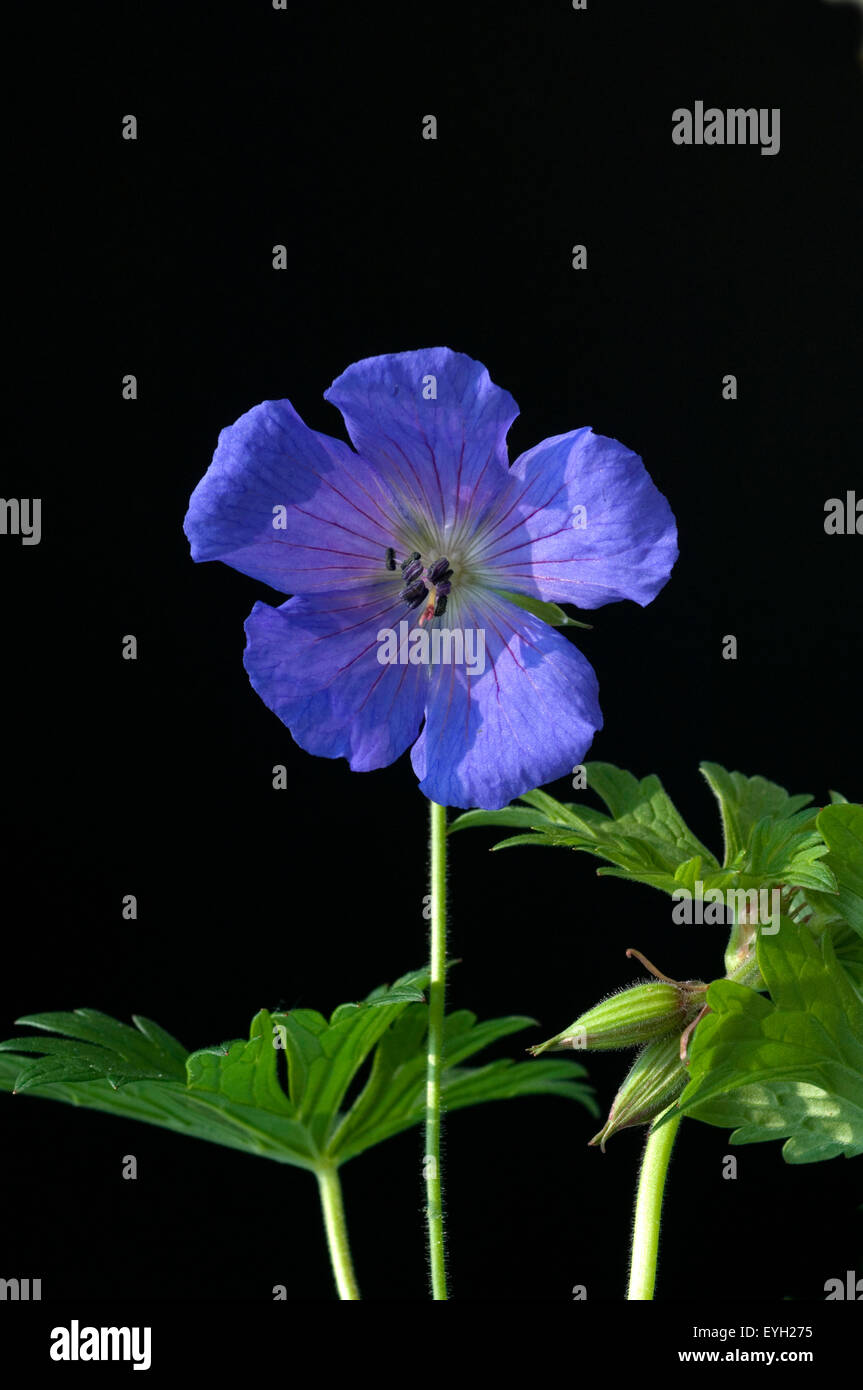 Storchschnabel; Geranium - Stock Image