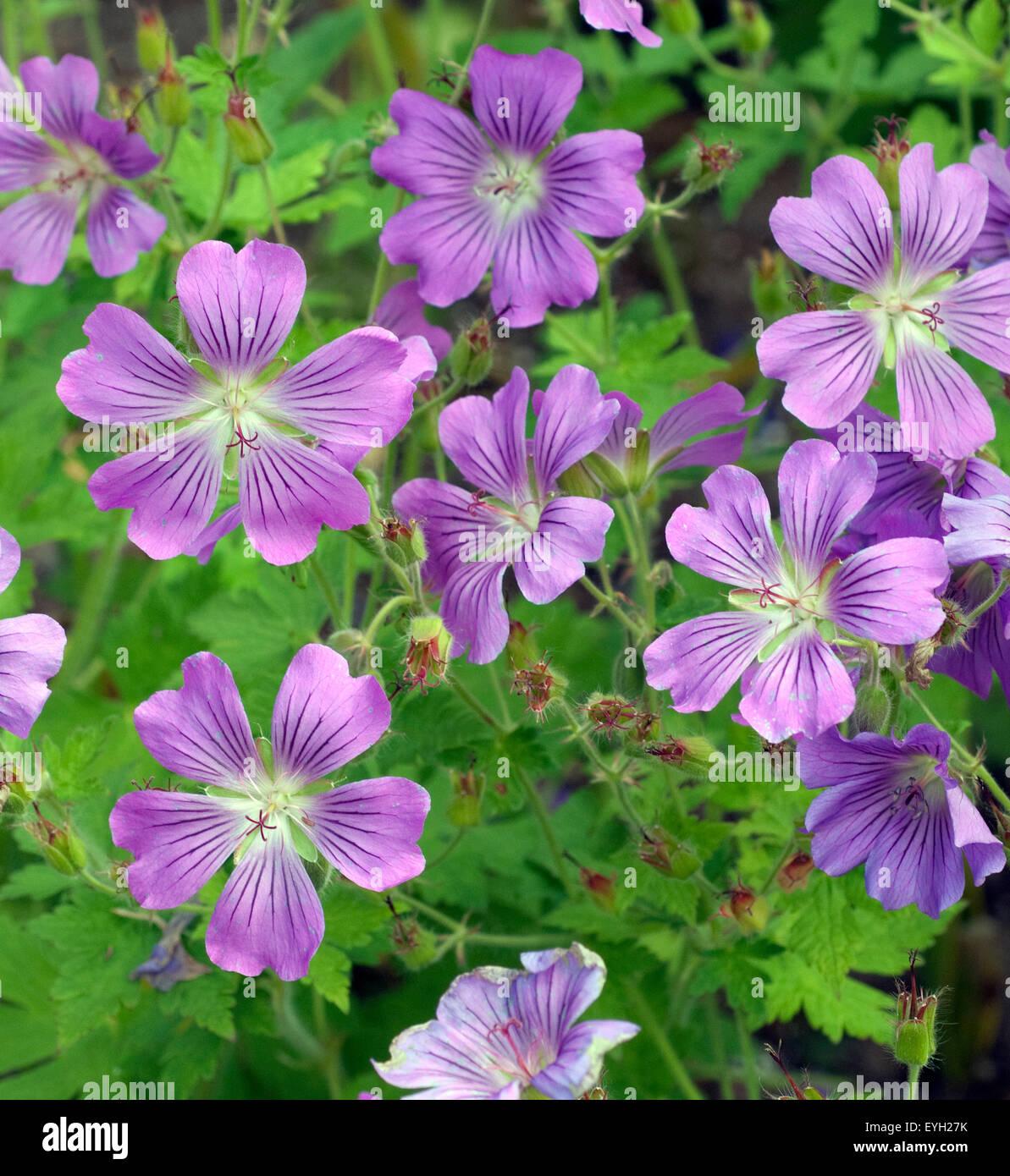 Storchschnabel, Geranium, gracile, Sirak, - Stock Image