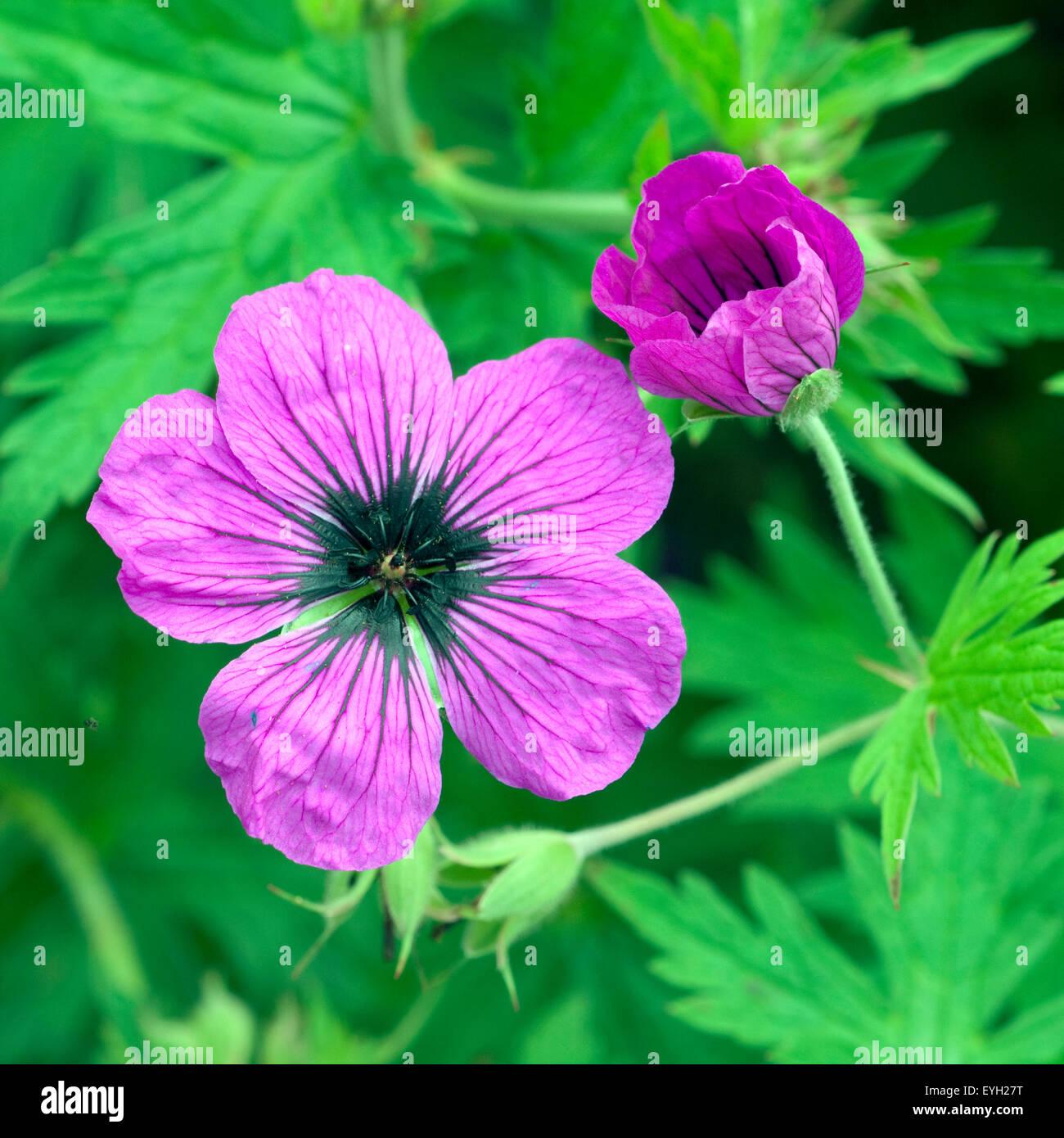 Storchschnabel, Geranium, psilostemon, Kolchis, - Stock Image