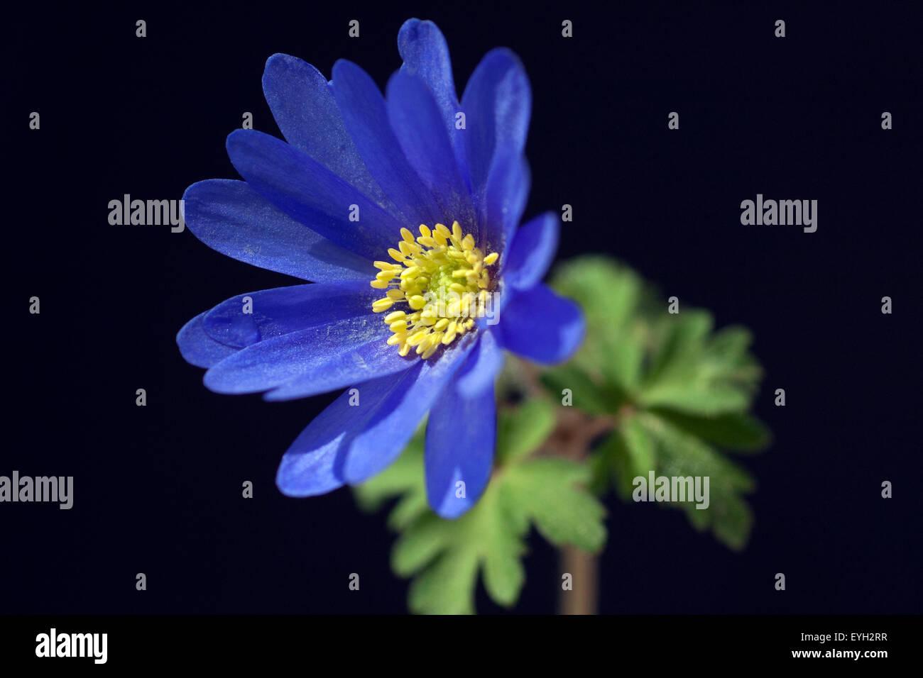 Strahlenanemone; Anemone; Blanda; - Stock Image