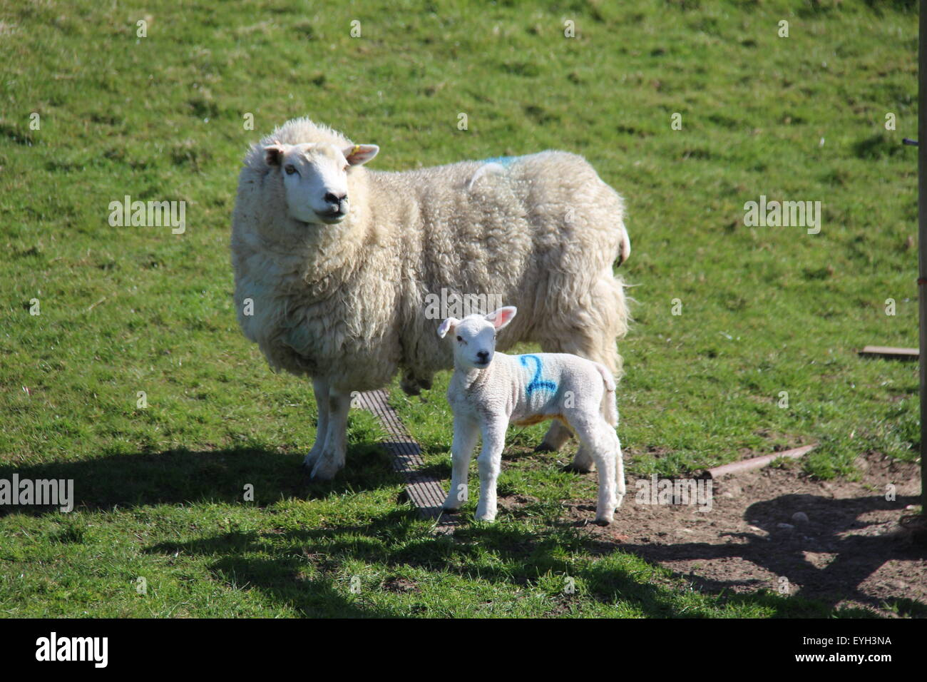 PORTRAIT OF EWE WITH ONE LAMB BOTH LOOKING AT CAMERA - Stock Image