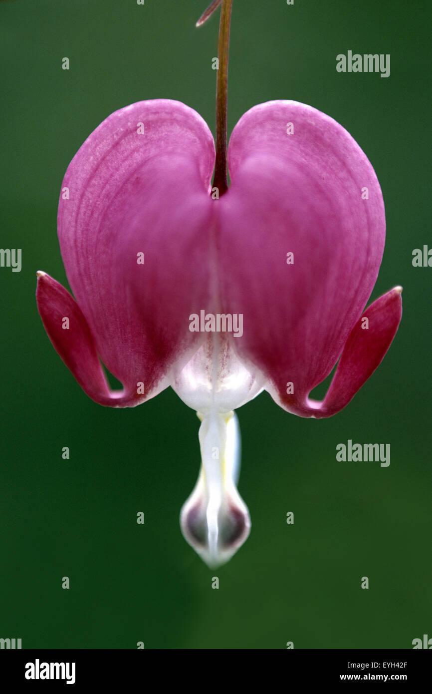 Traenendes Herz rot Blumenherz herzform herzlich Dicentra spectabiles - Stock Image