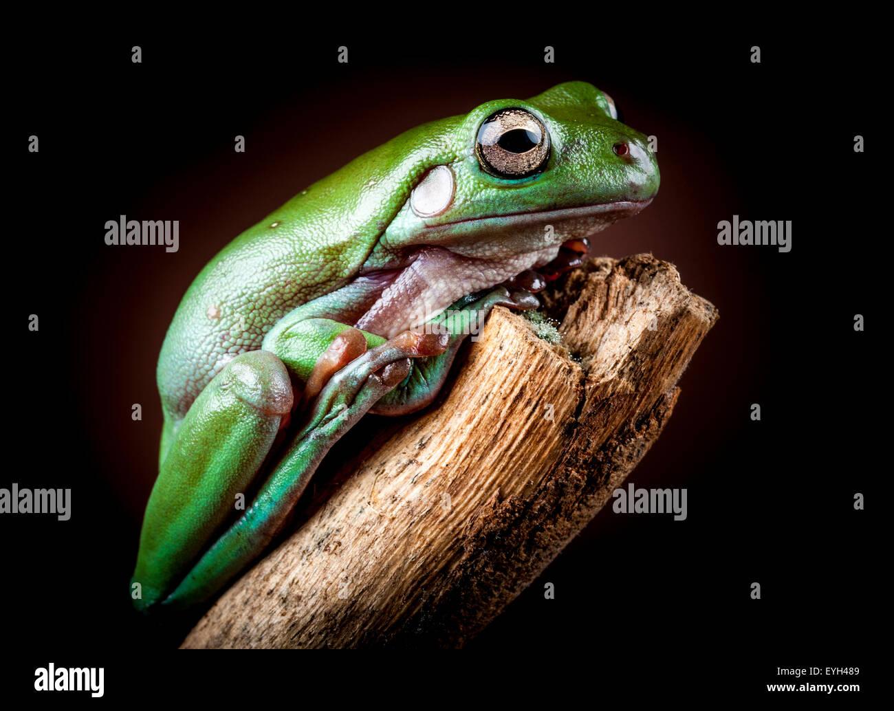White's Tree Frog, Litoria caerulea Stock Photo