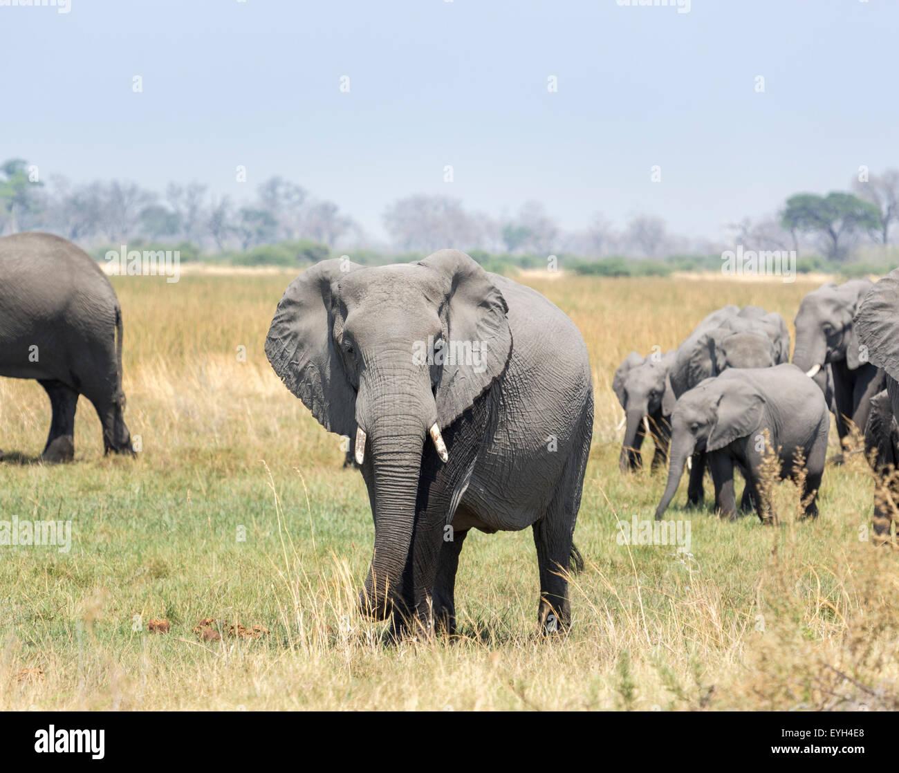 Elephant at the head of a herd of African elephants (Loxodonta africana), Okavango Delta, northern Botswana, southern - Stock Image