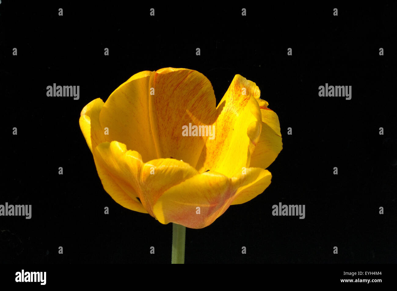 Tulpenbluete, gelbe - Stock Image