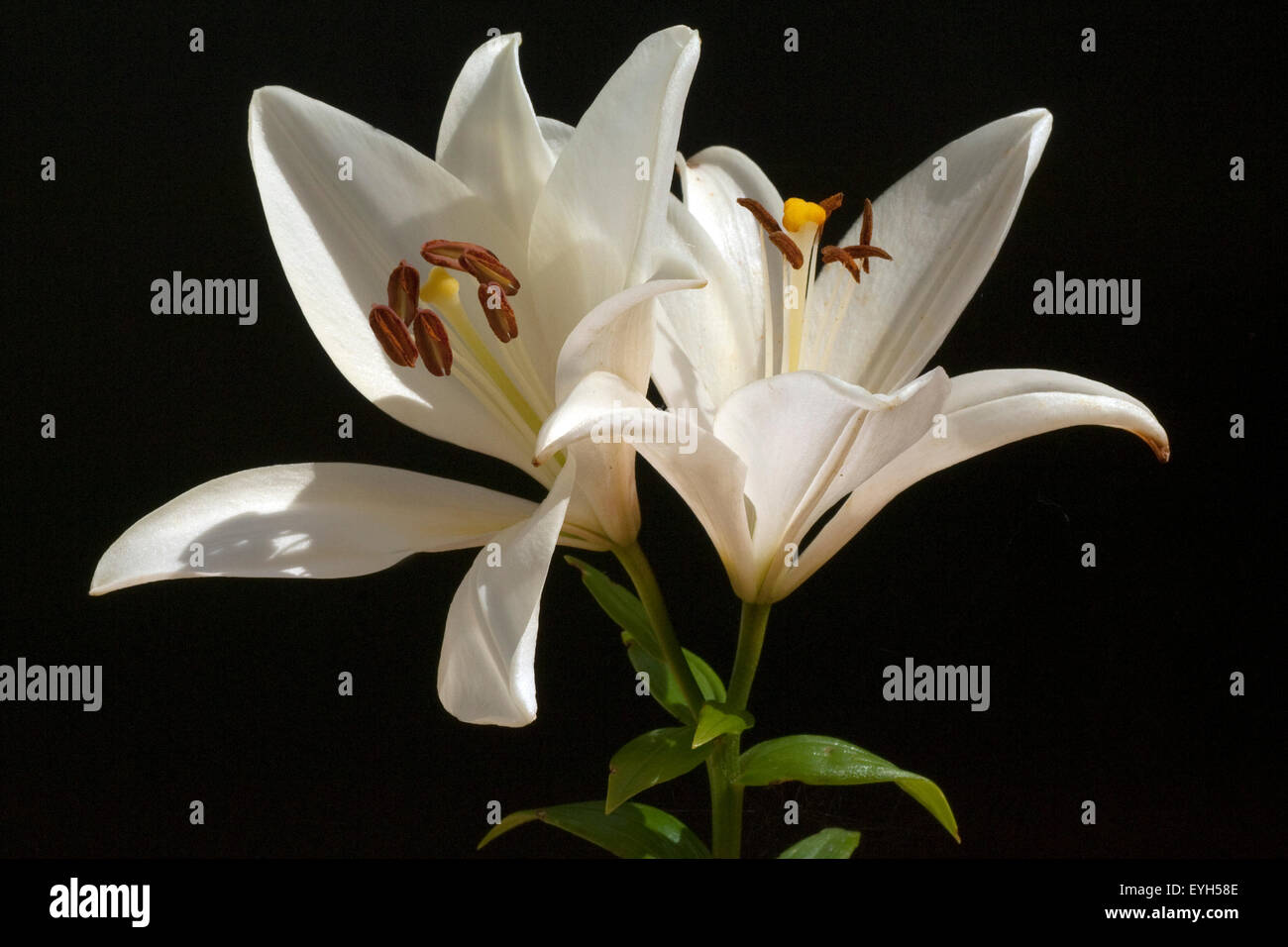 Weisse, lilie; hybride; lilien; hybriden; - Stock Image