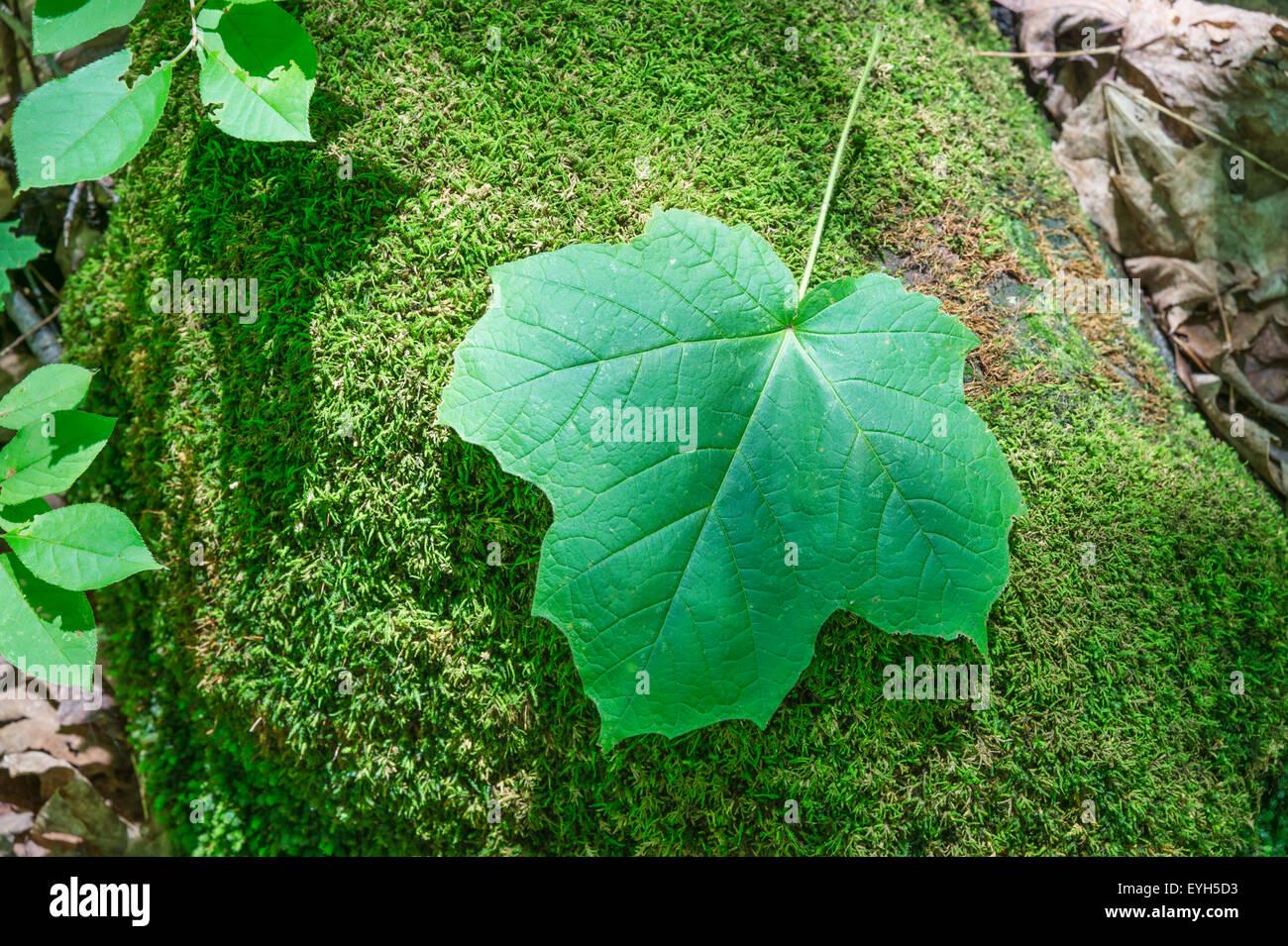 Acer Nigrum Stock Photos Acer Nigrum Stock Images Alamy